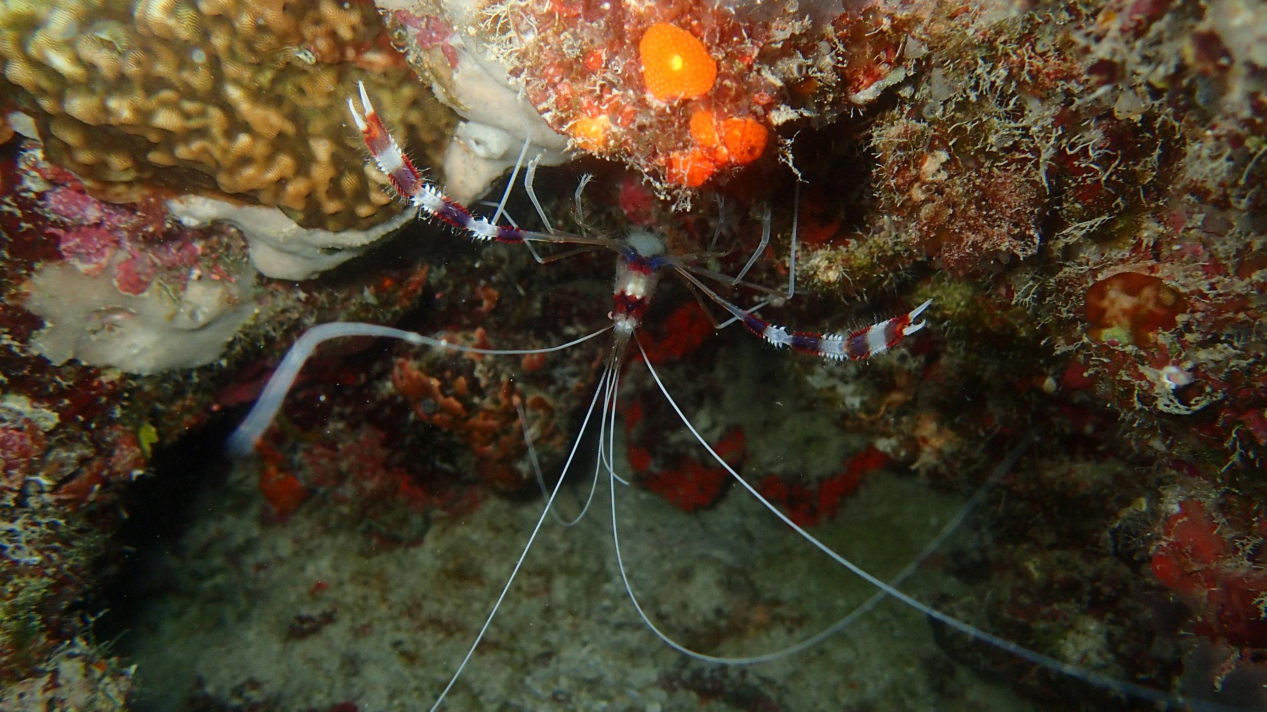 best banded coral shrimp.jpg