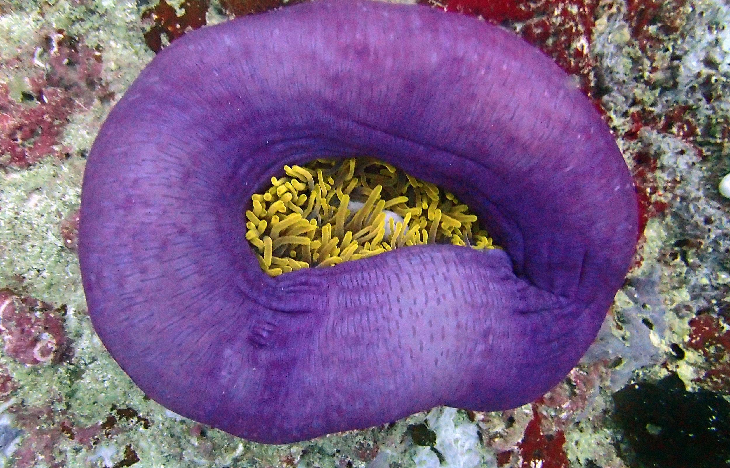 decent anemone shot.jpg