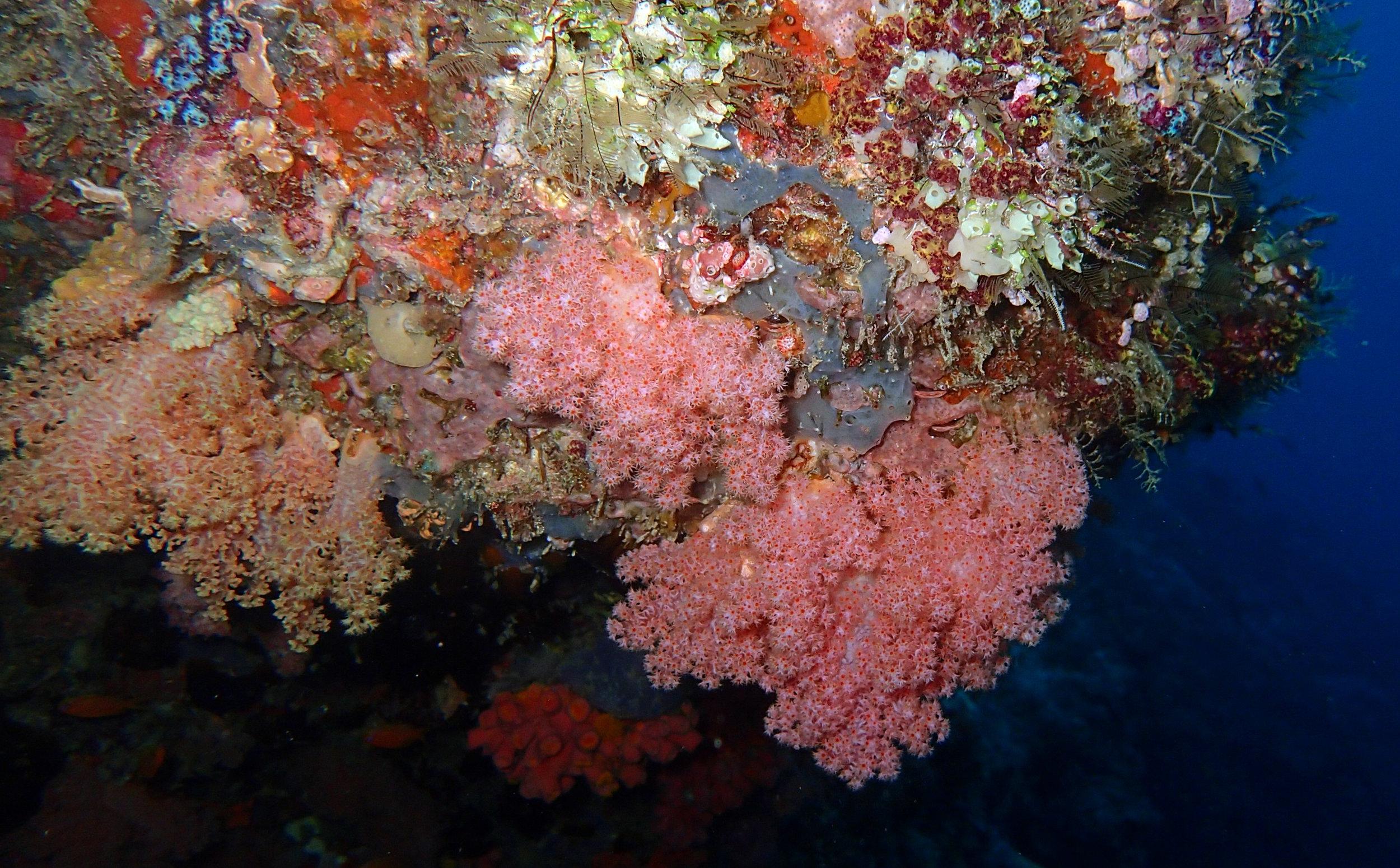 good soft coral shot at Dhigga Thila.jpg