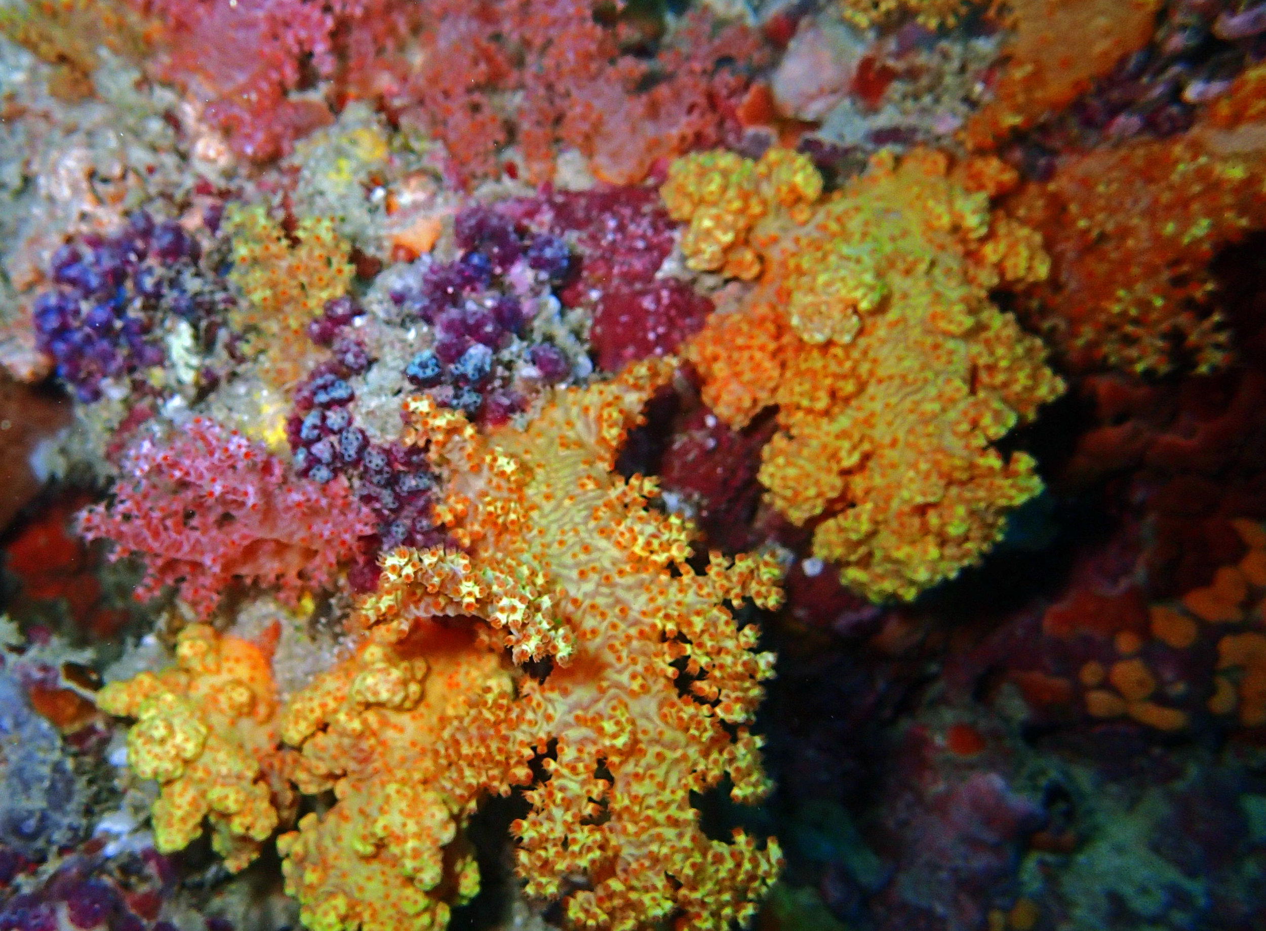 vibrant soft corals.jpg