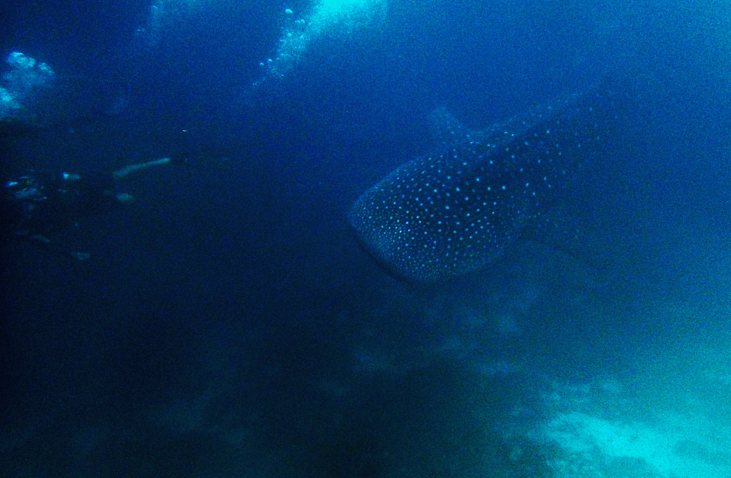 blurry whale shark.jpg