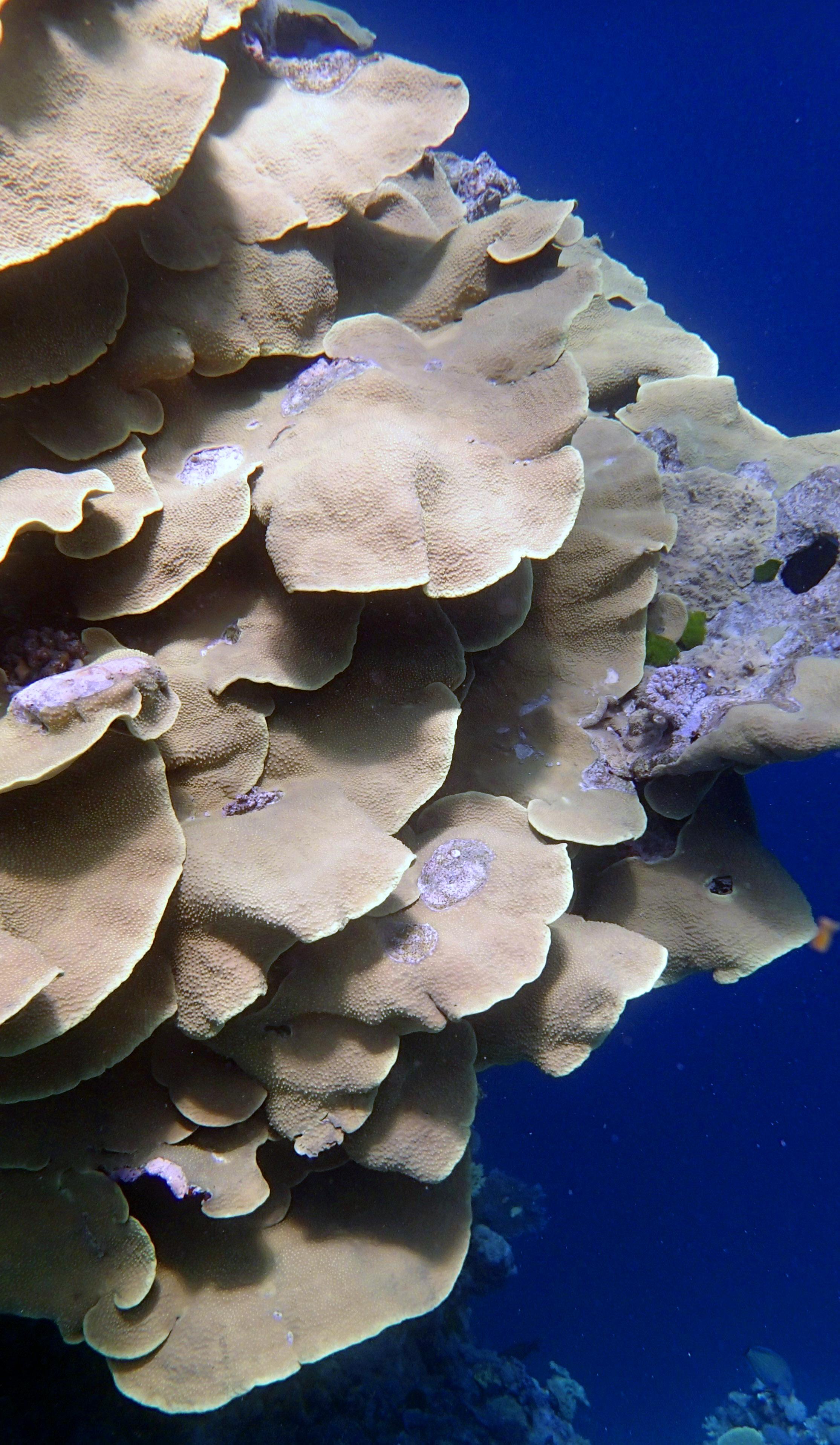 Turbinaria at Yule Detached Reef.jpg