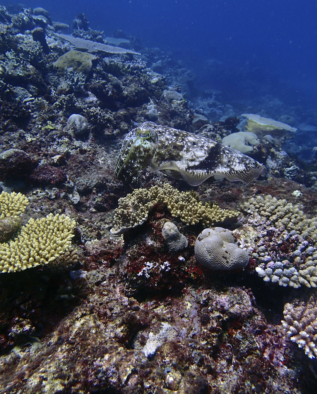cuttlefish 4.jpg