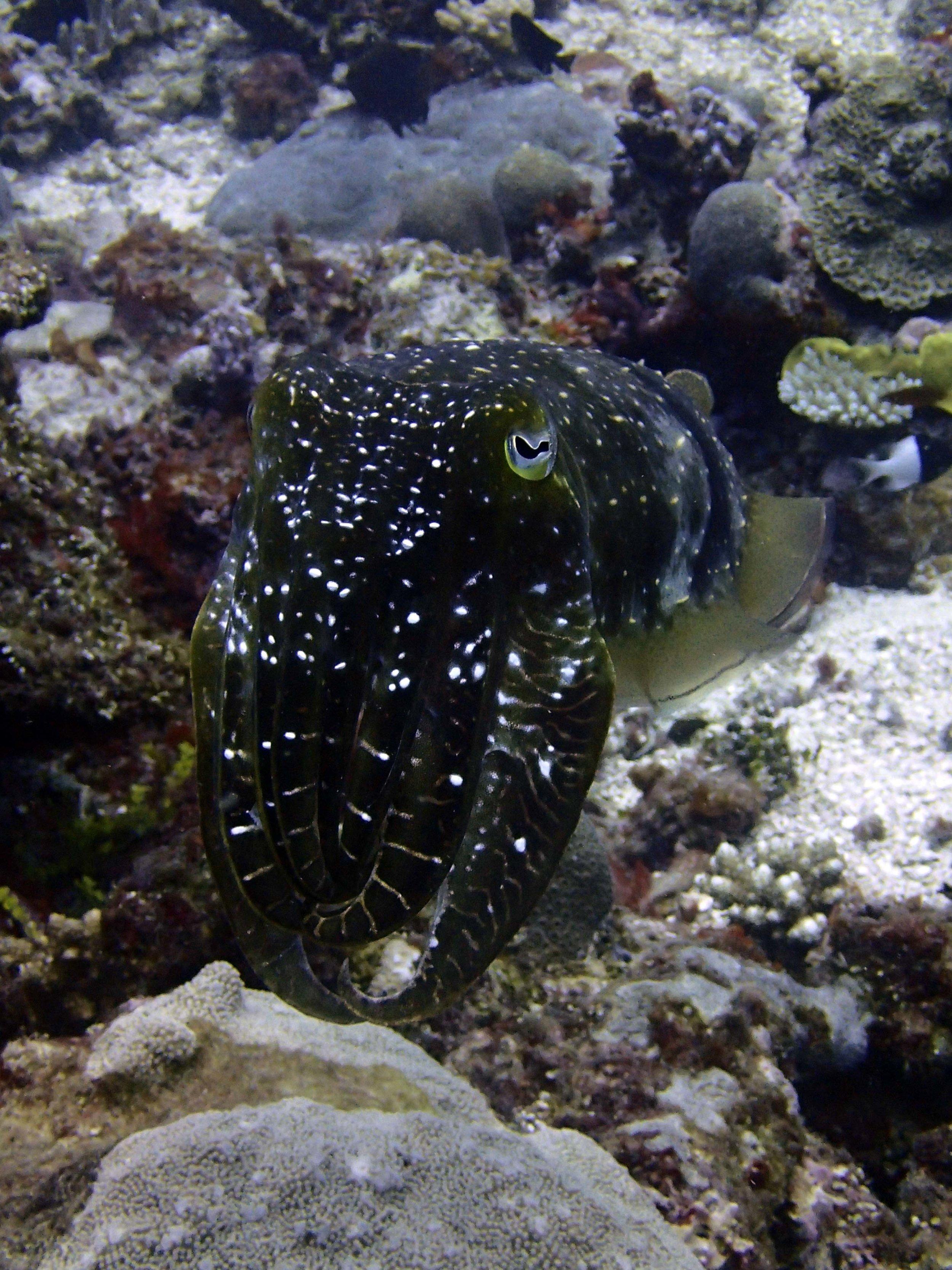 cuttlefish2.jpg