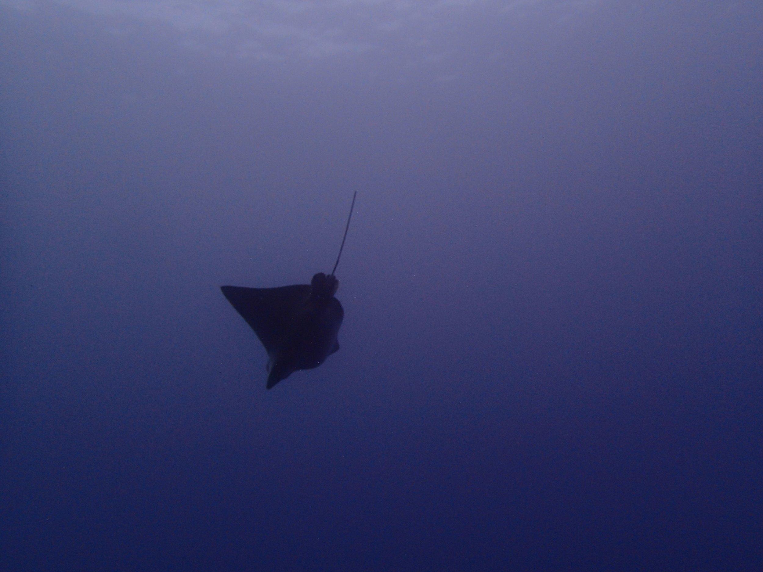 diving ray.jpg