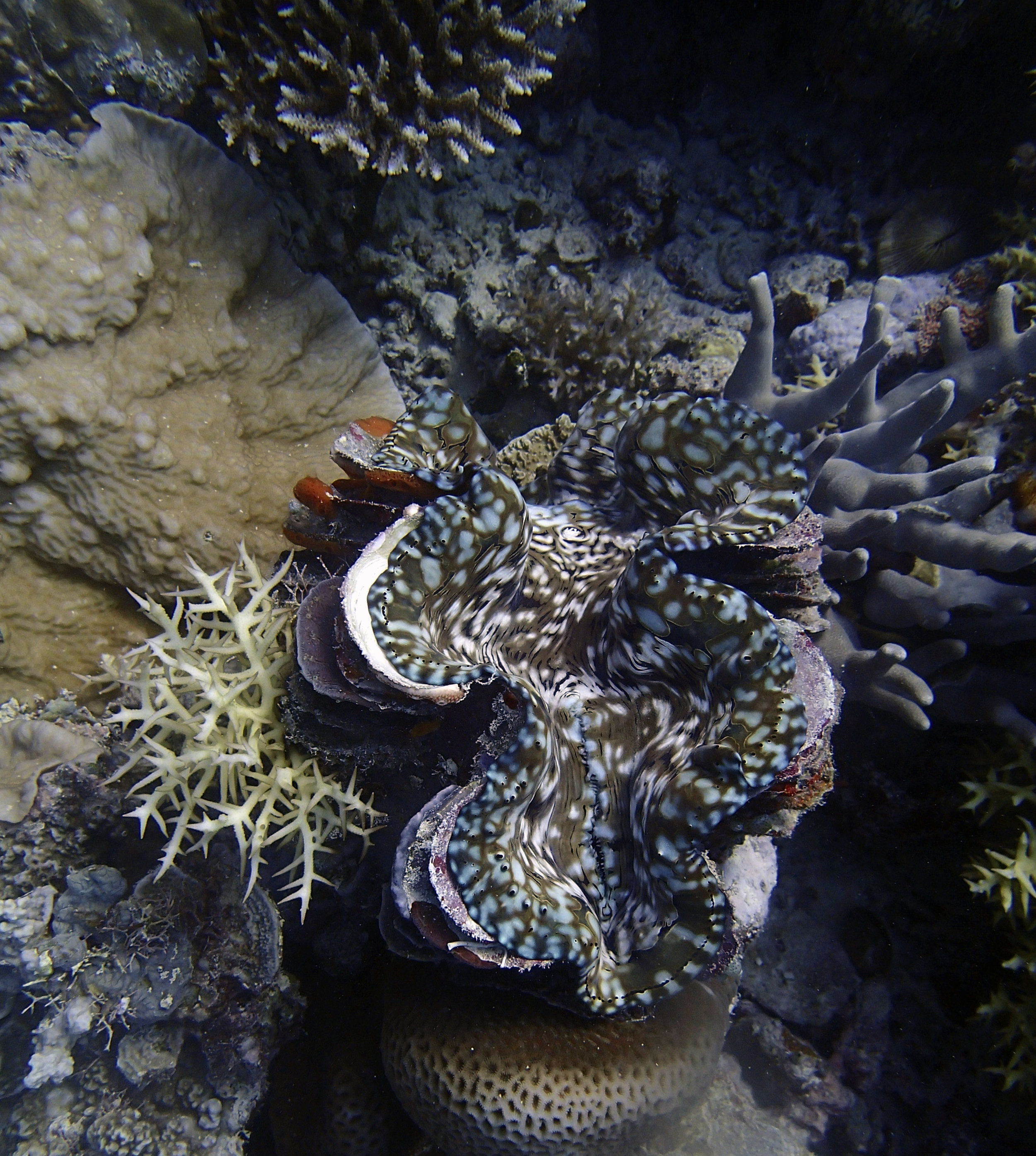 giant clam and SH.jpg