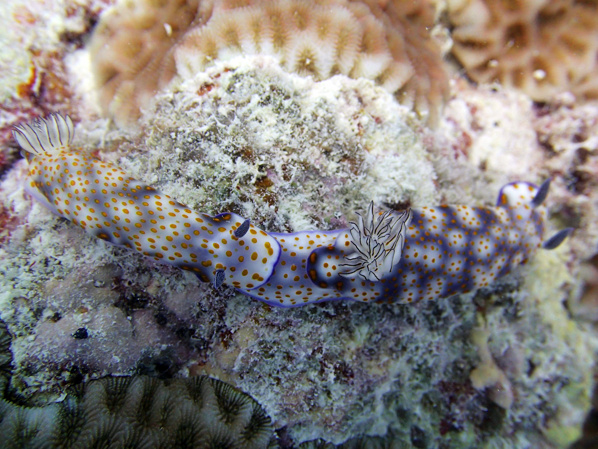 best nudibranch mating shot.jpg