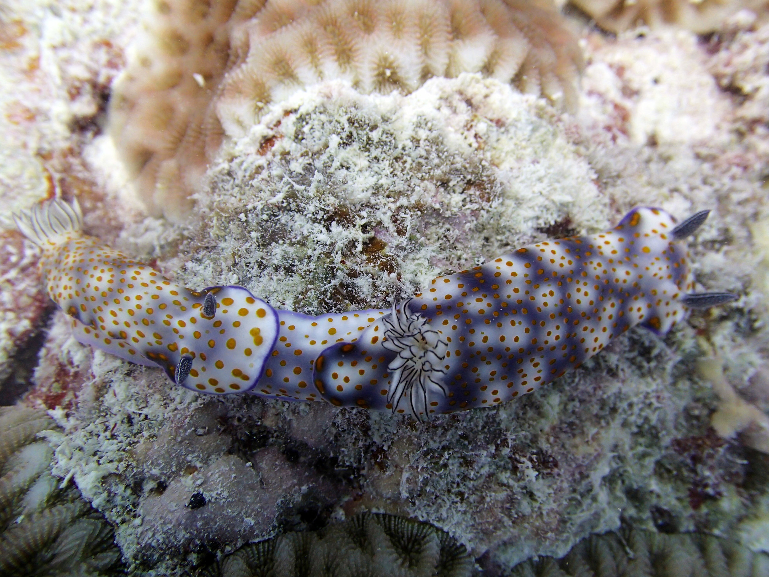 mating nudibranches.jpg