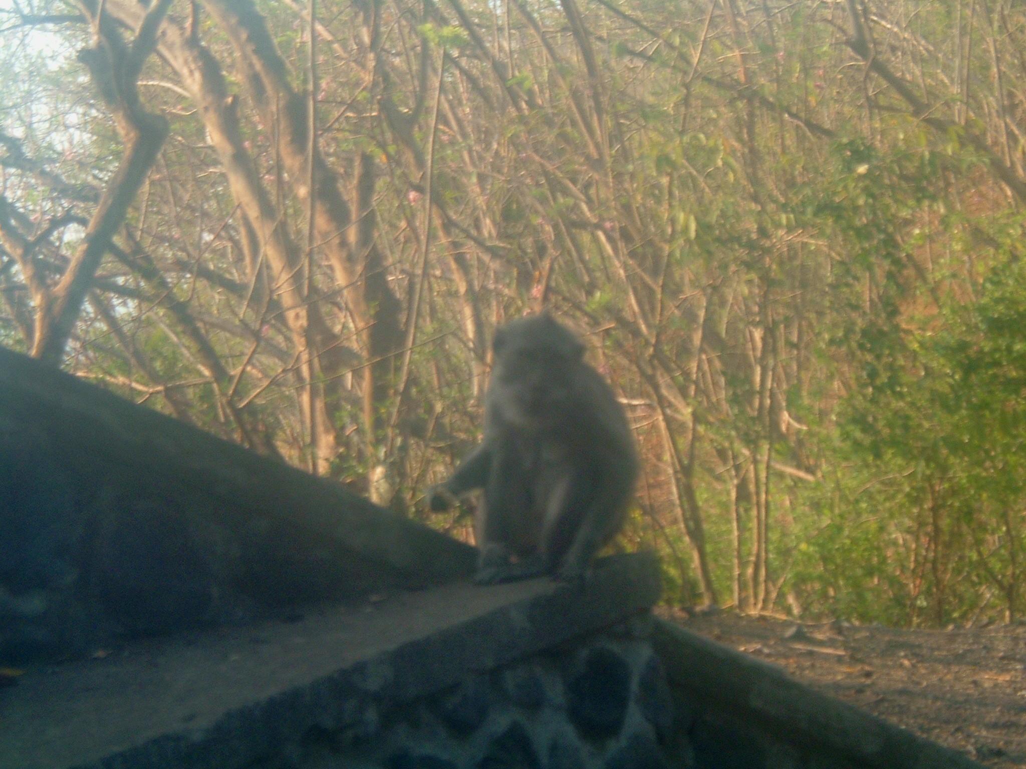temple monkey near candidasa.JPG