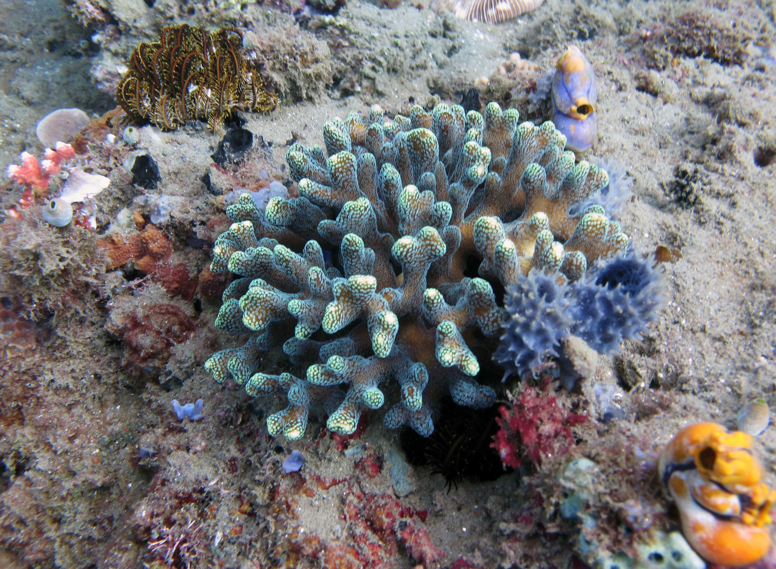 flourescent Stylophora.jpg