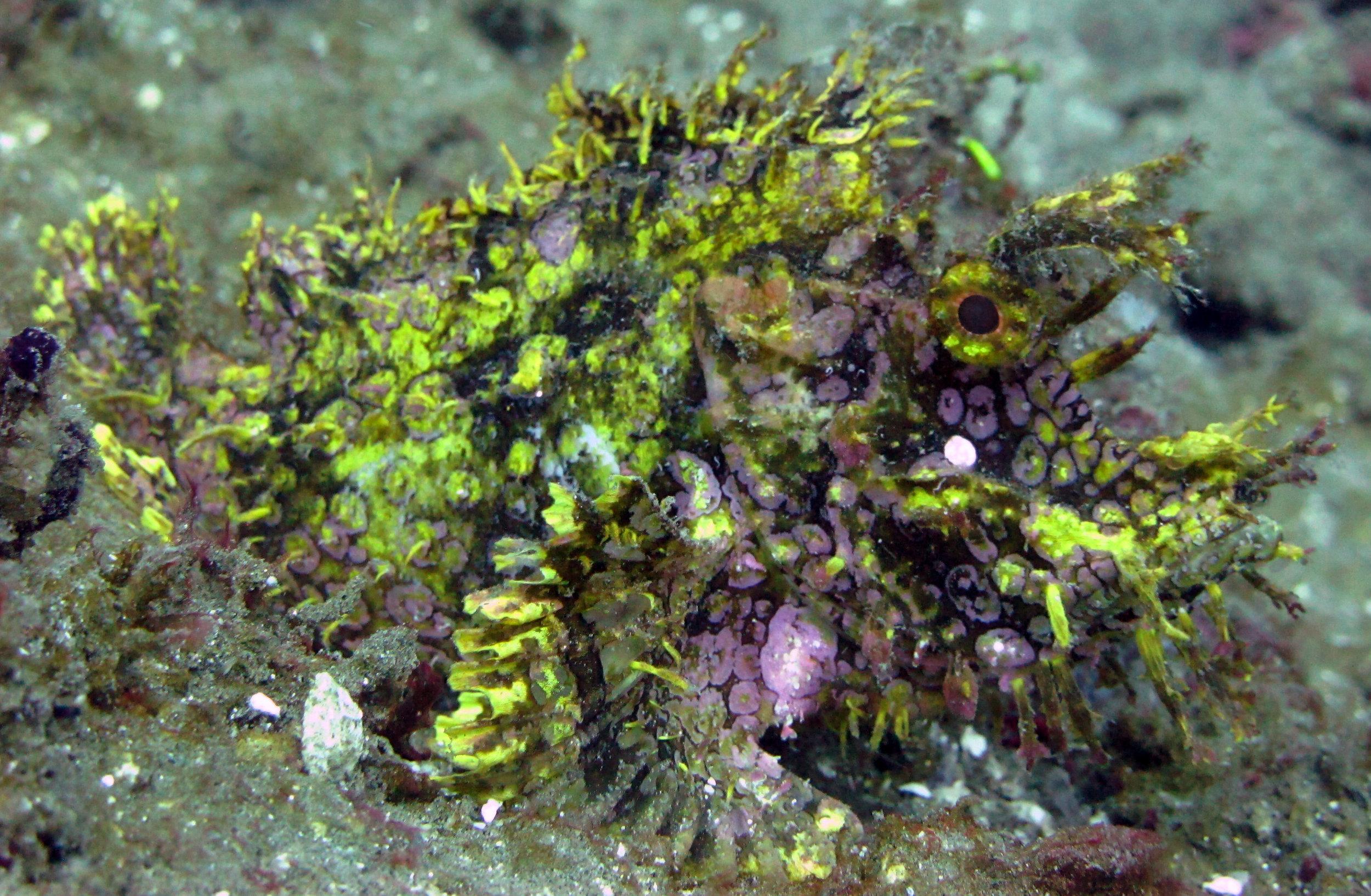 awesome scorpionfish.jpg