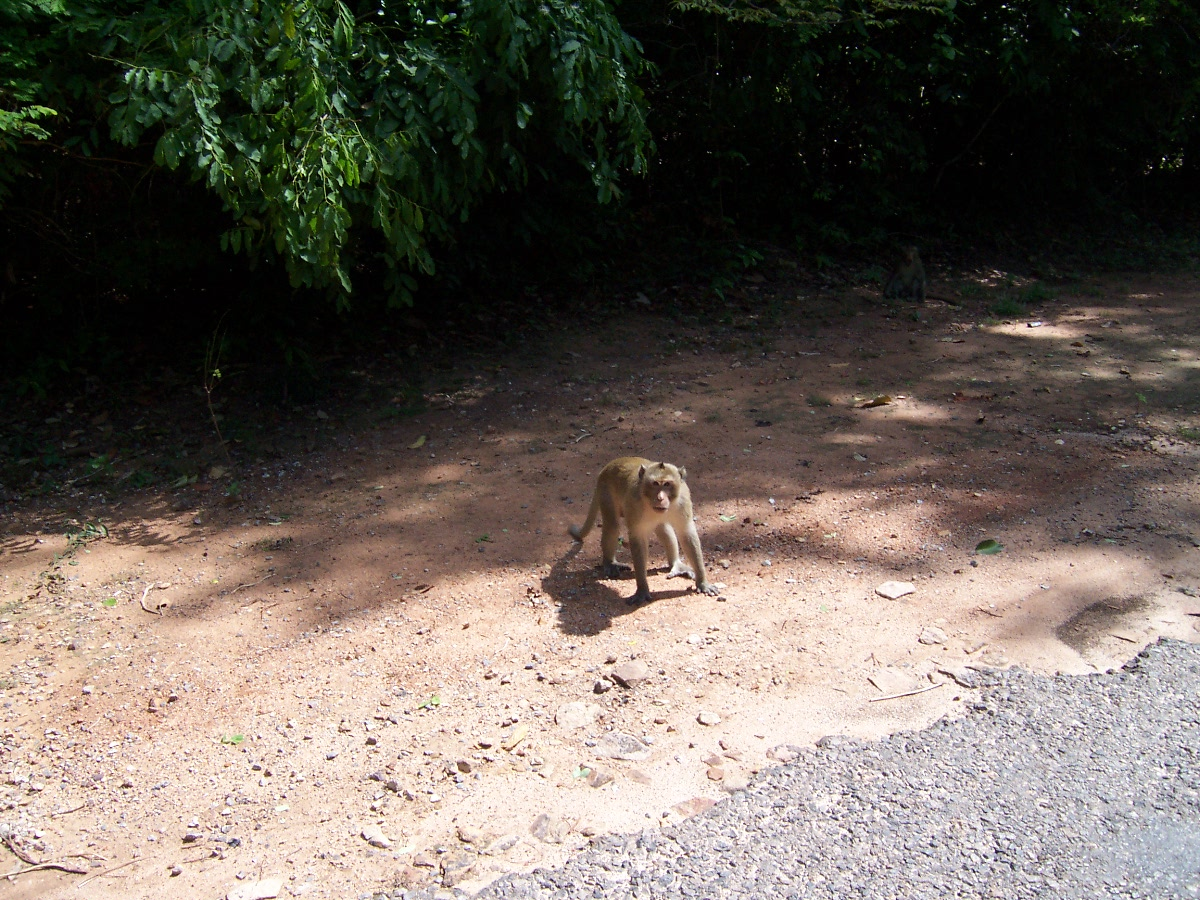 angry angkor monkey.jpg