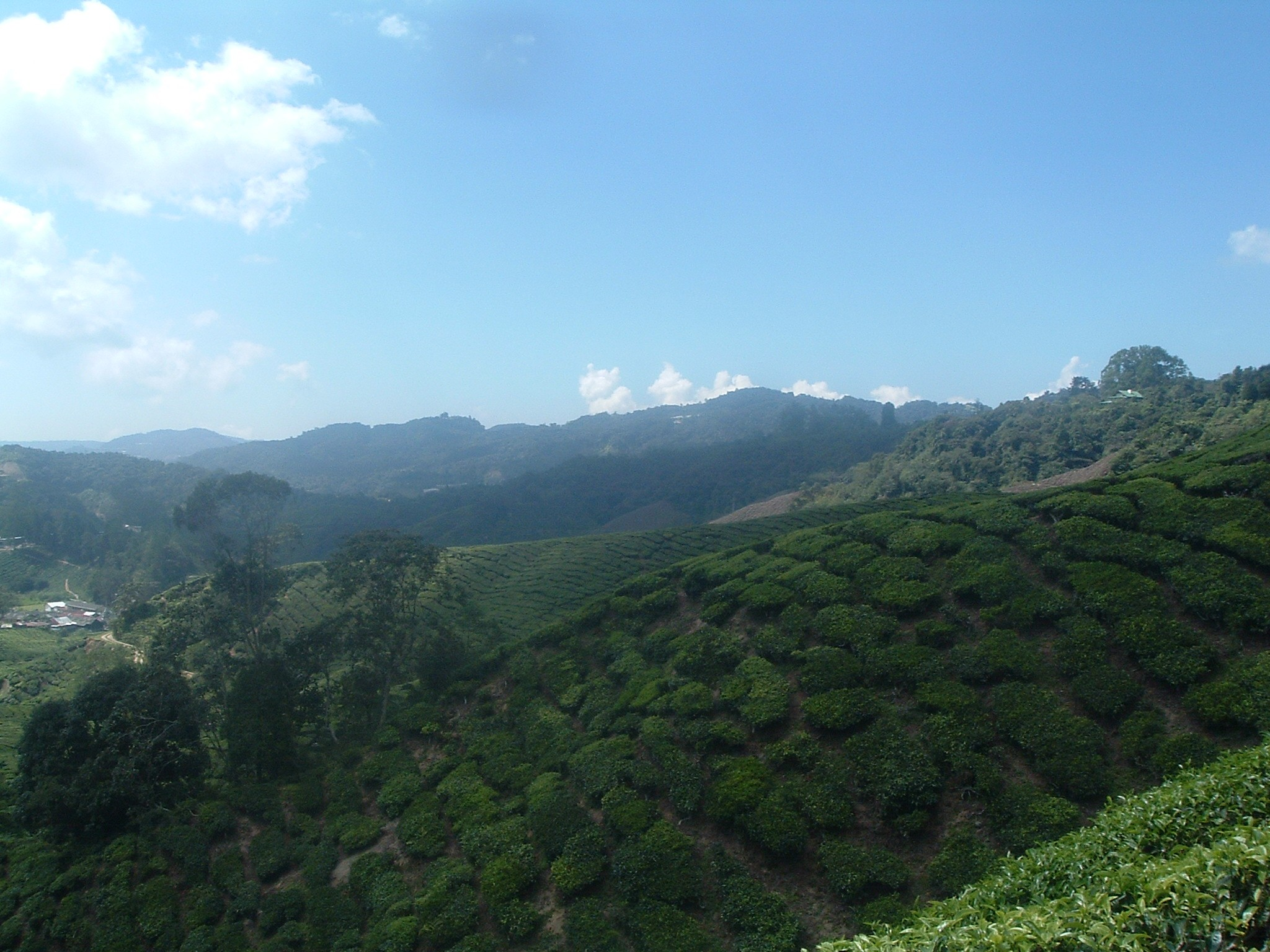 cool tea plantation malaysian.JPG