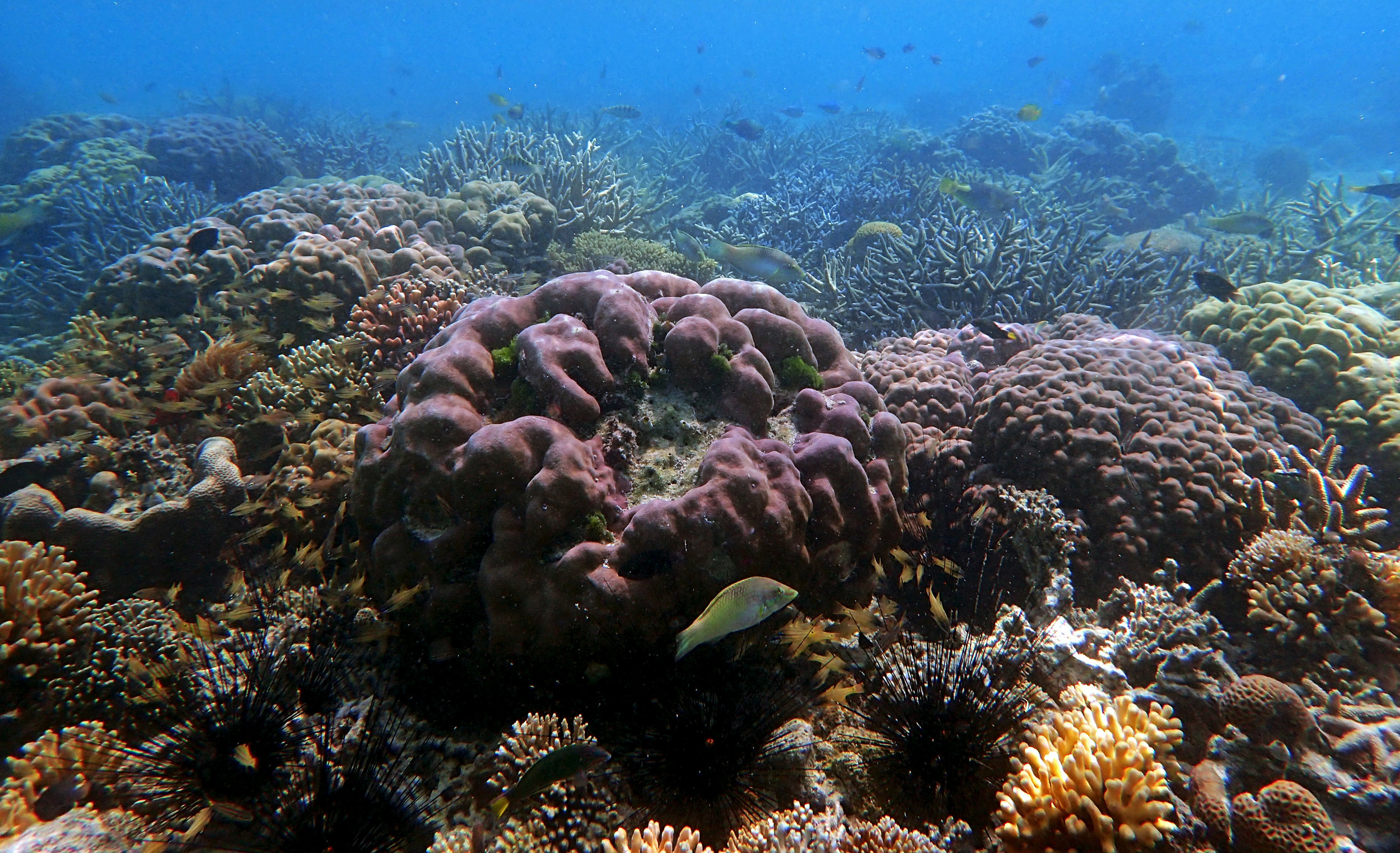 shallow corals of Sulawesi.jpg