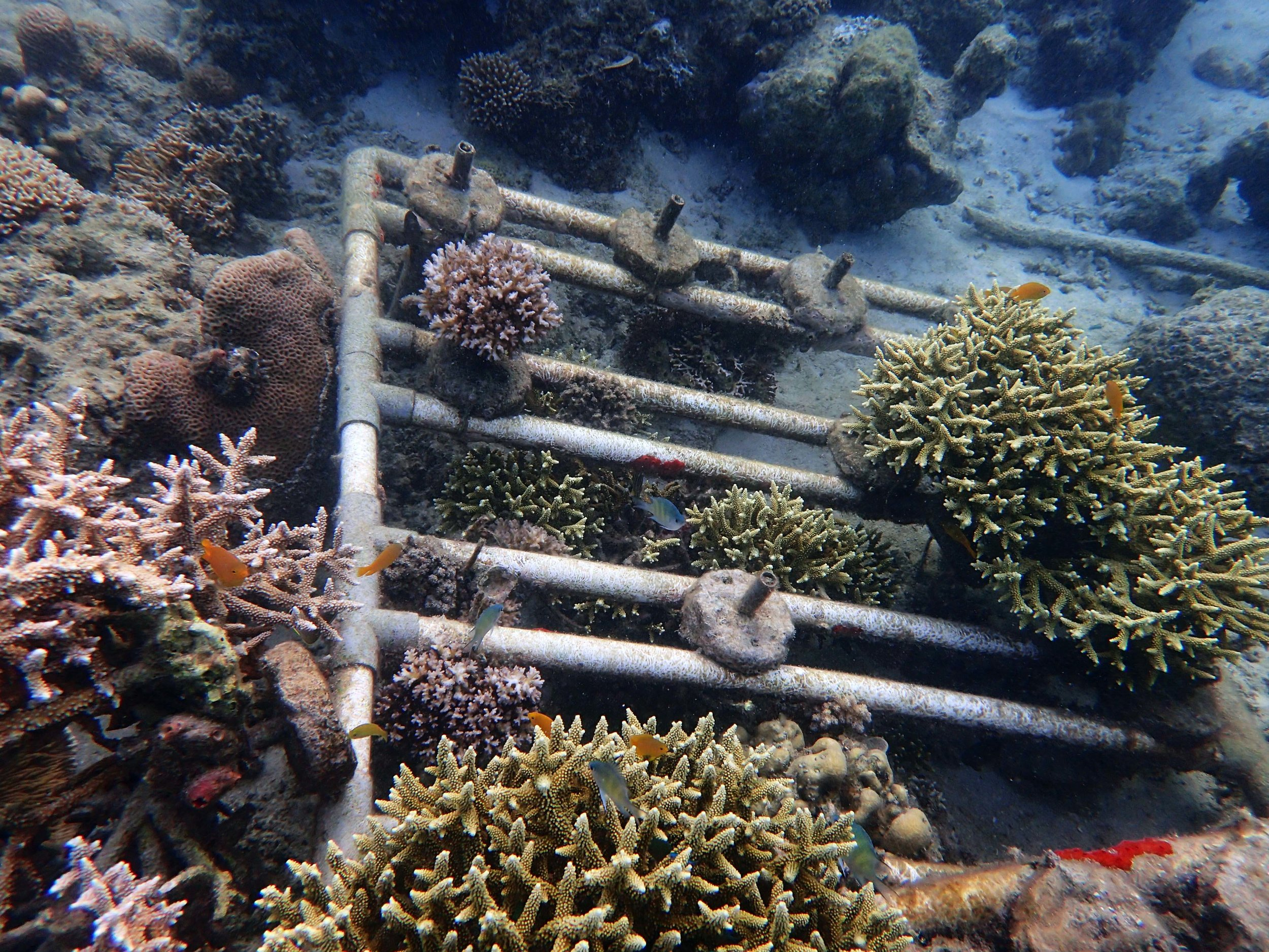 Samalona corals.jpg