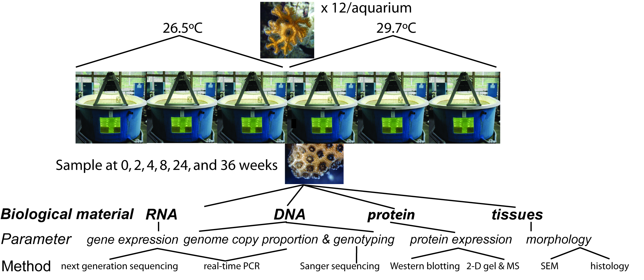 A summary of the experiment and the response variables assessed.  For the remaining proteomic samples,  iTRAQ  followed by nano-liquid chromatography and mass spectrometry (MS) will be used in place of 2-D gels+MS.