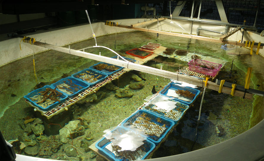 A coral reef mesocosm housing convalescing corals.