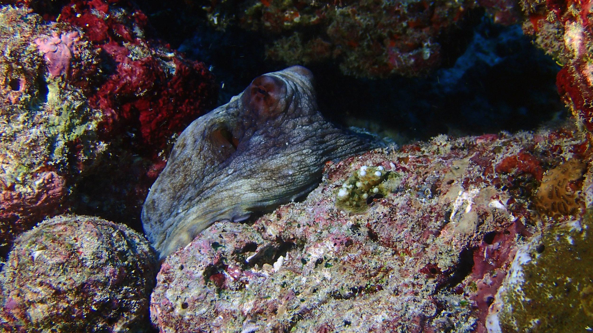 octopus Maldives.jpg