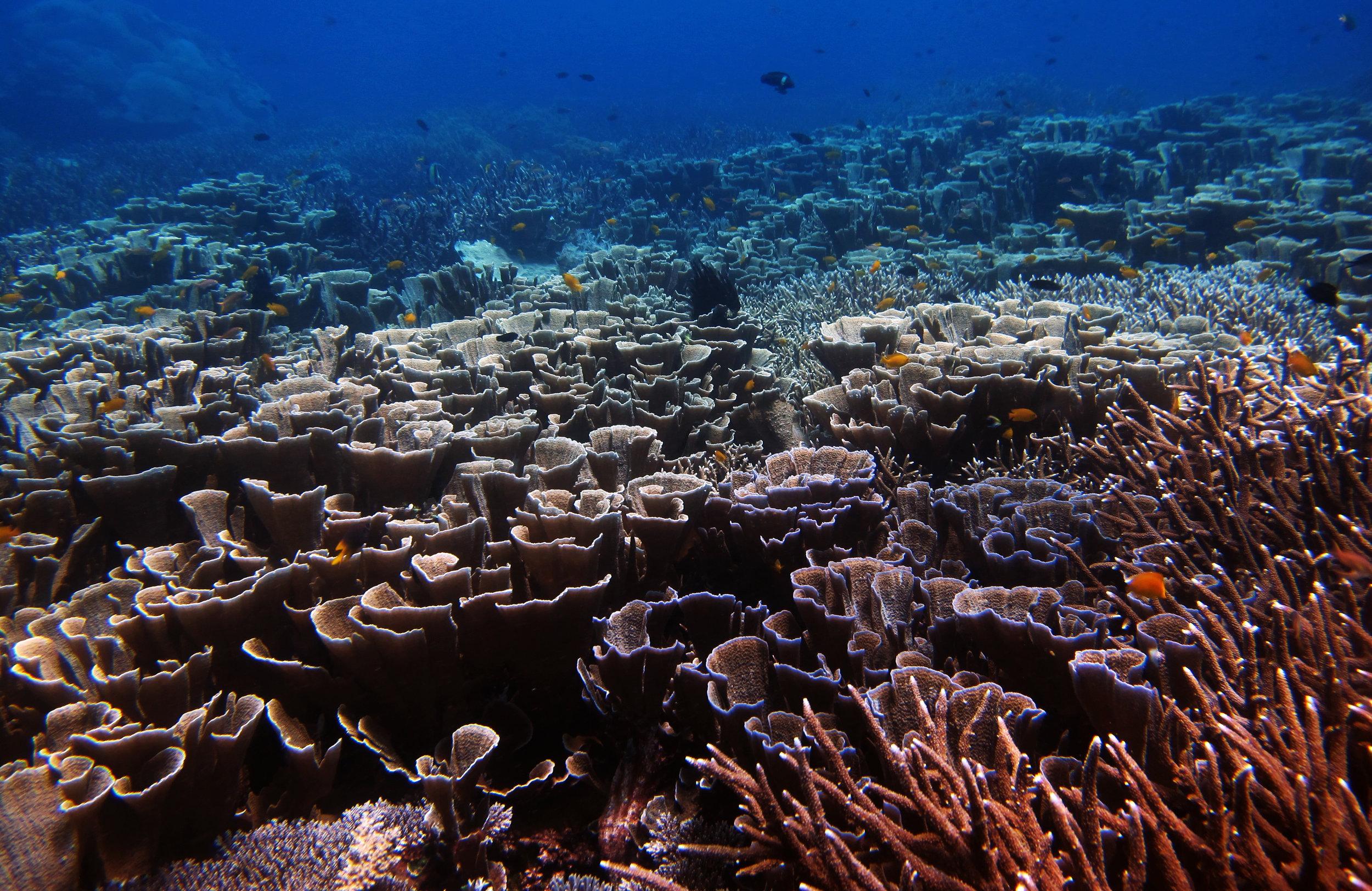 Raja Ampat coral paradise.jpg