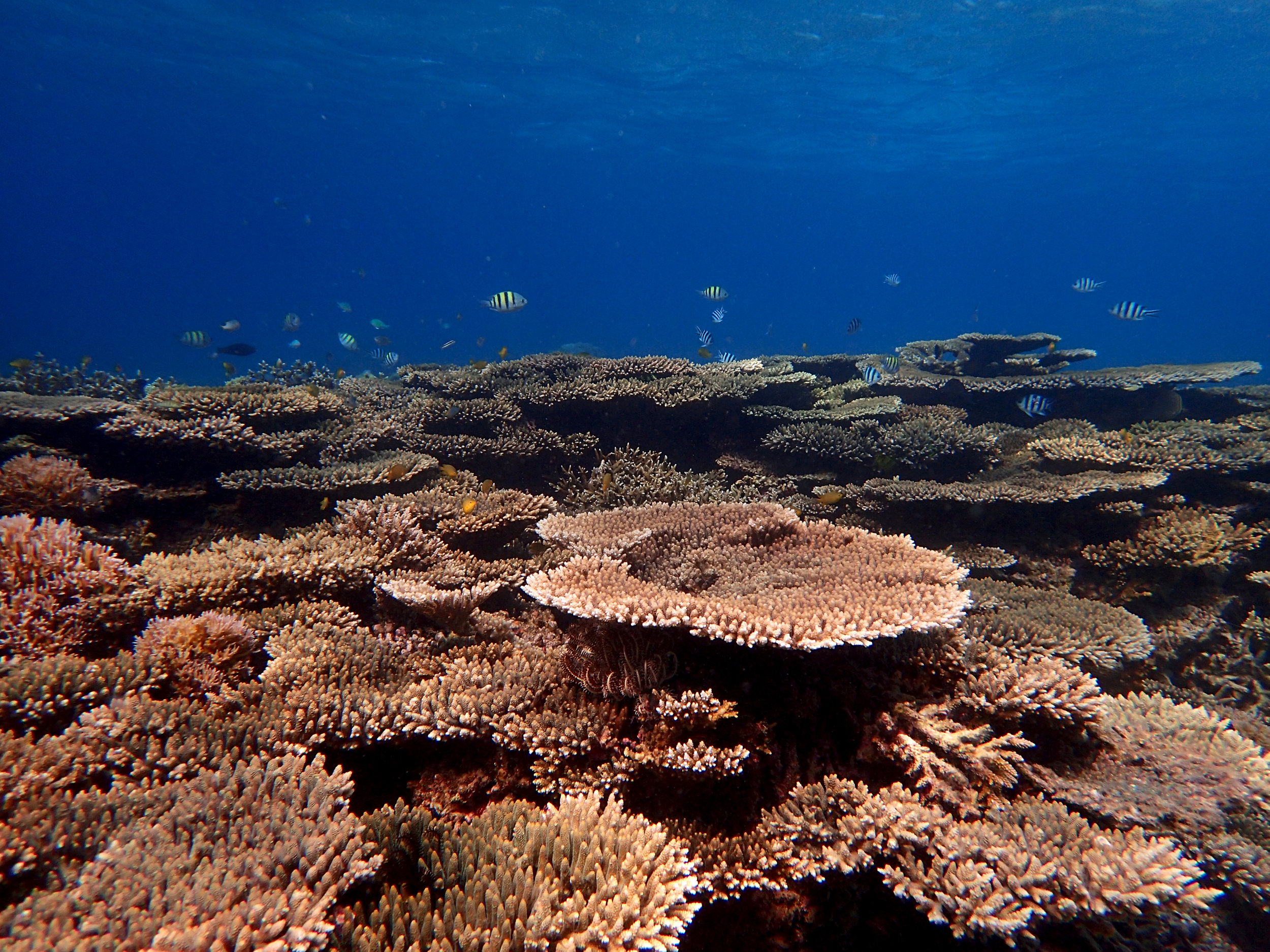 Acropora at Spermonde.jpg