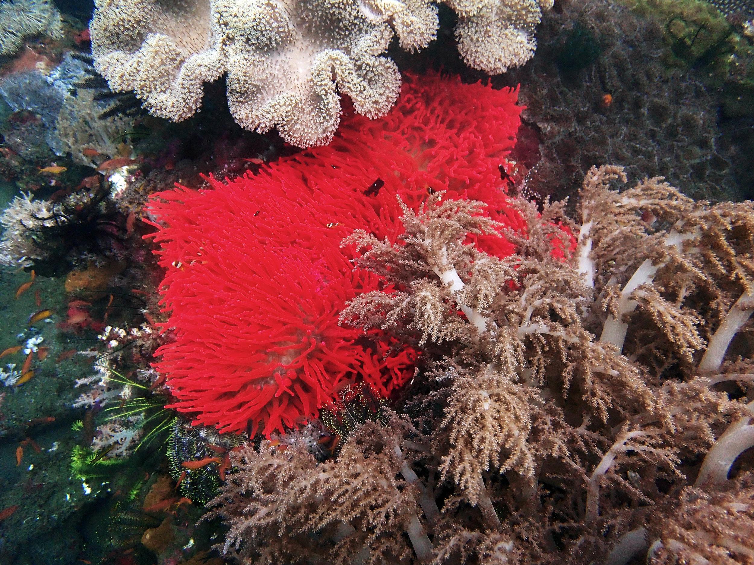 flaming red anemone.jpg