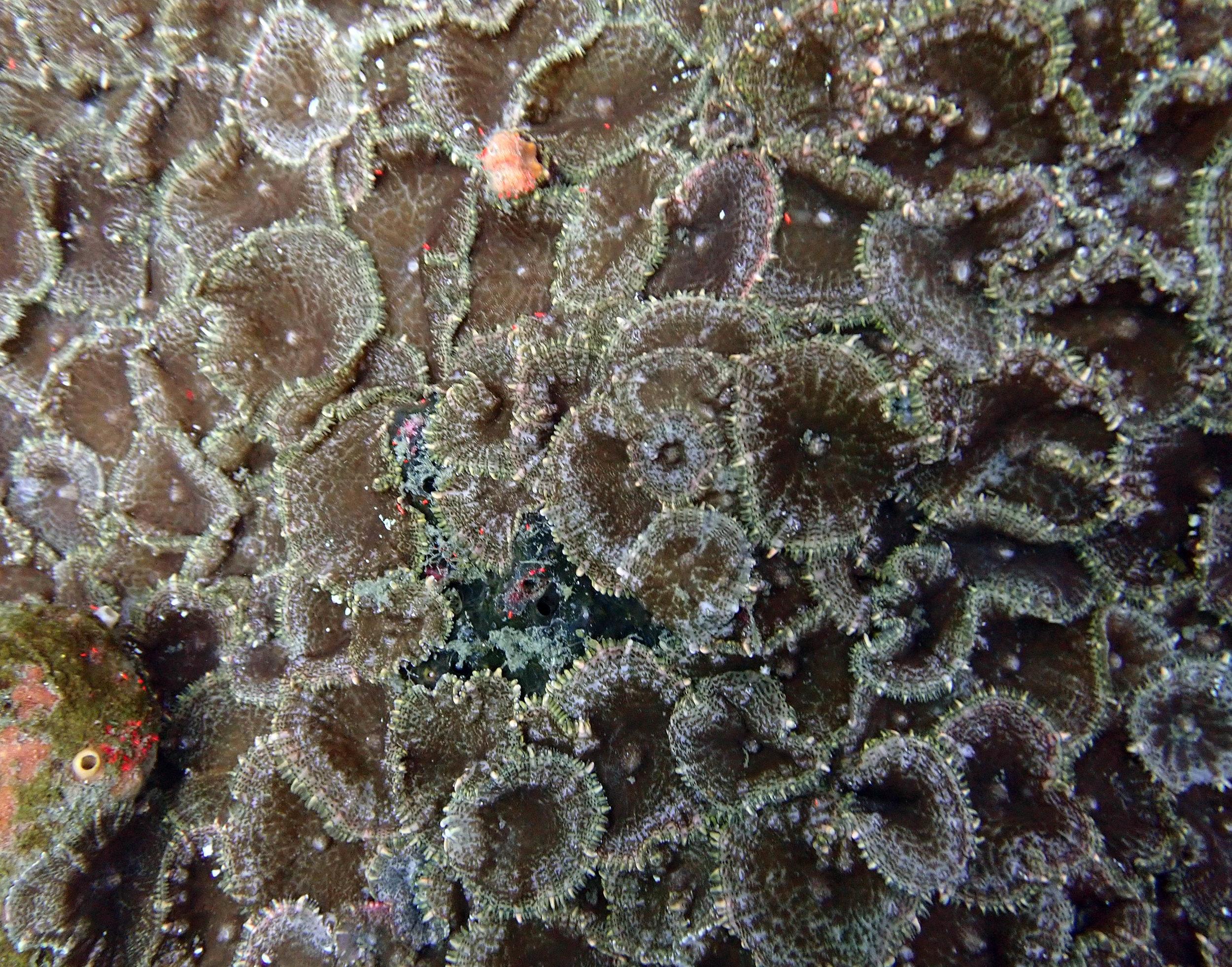 colonial corallimorph.jpg