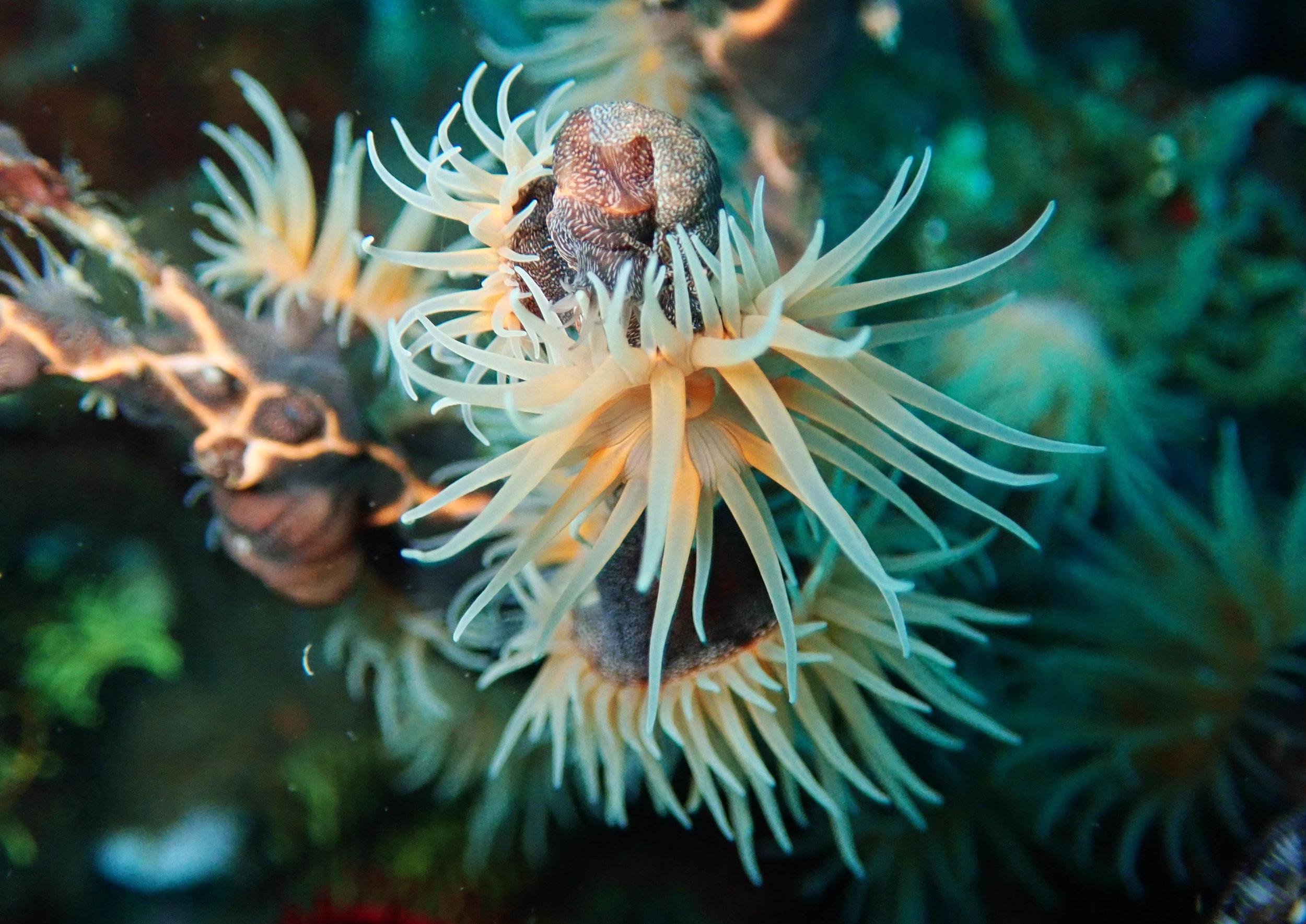 tiger anemone.jpg