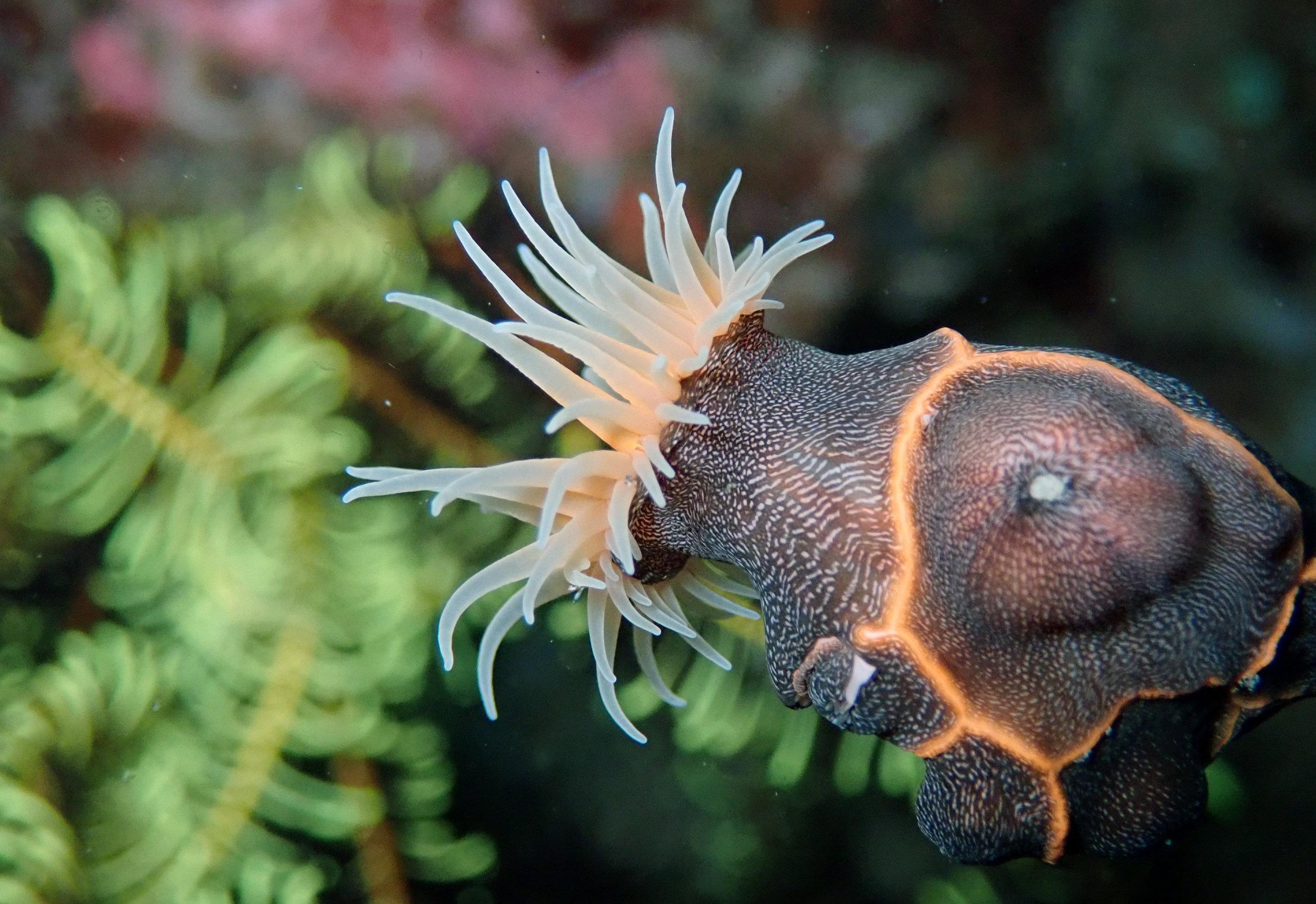 leopard anemone.jpg