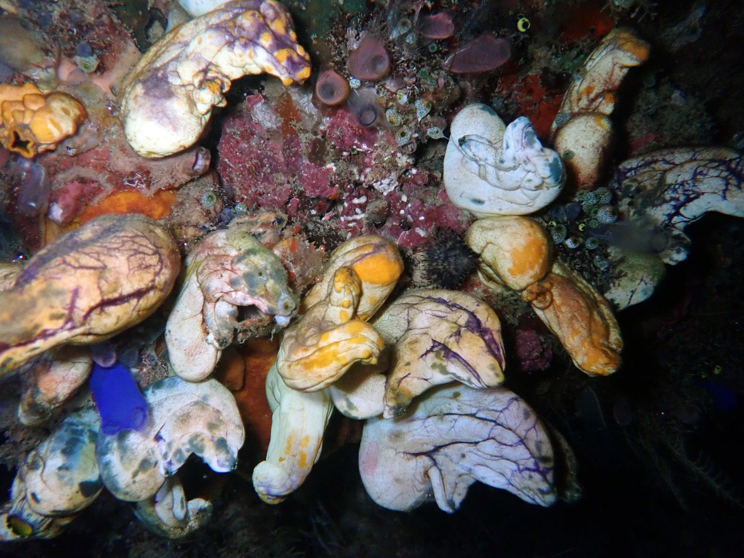 sea squirts.jpg