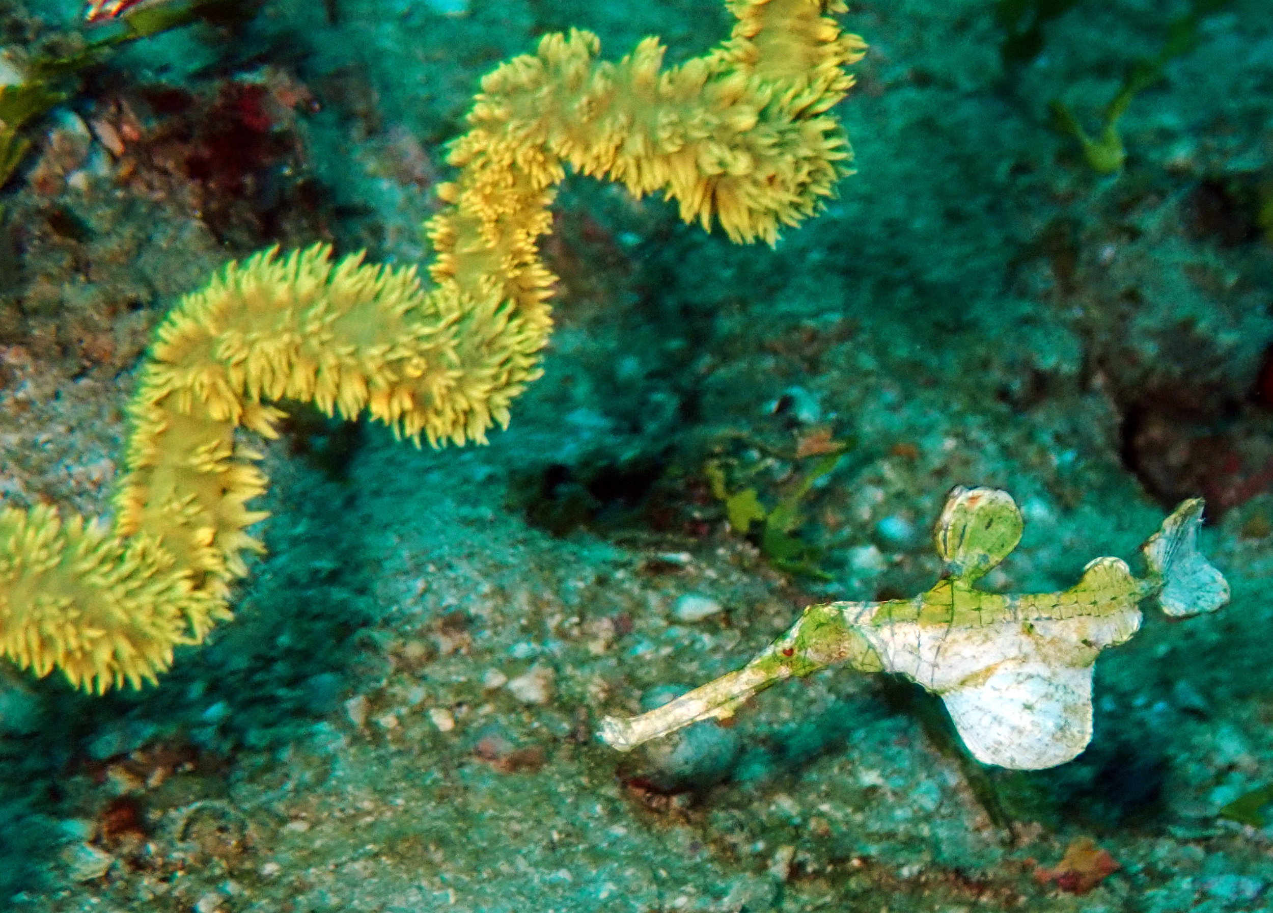 Halimeda ghost pipefish.jpg