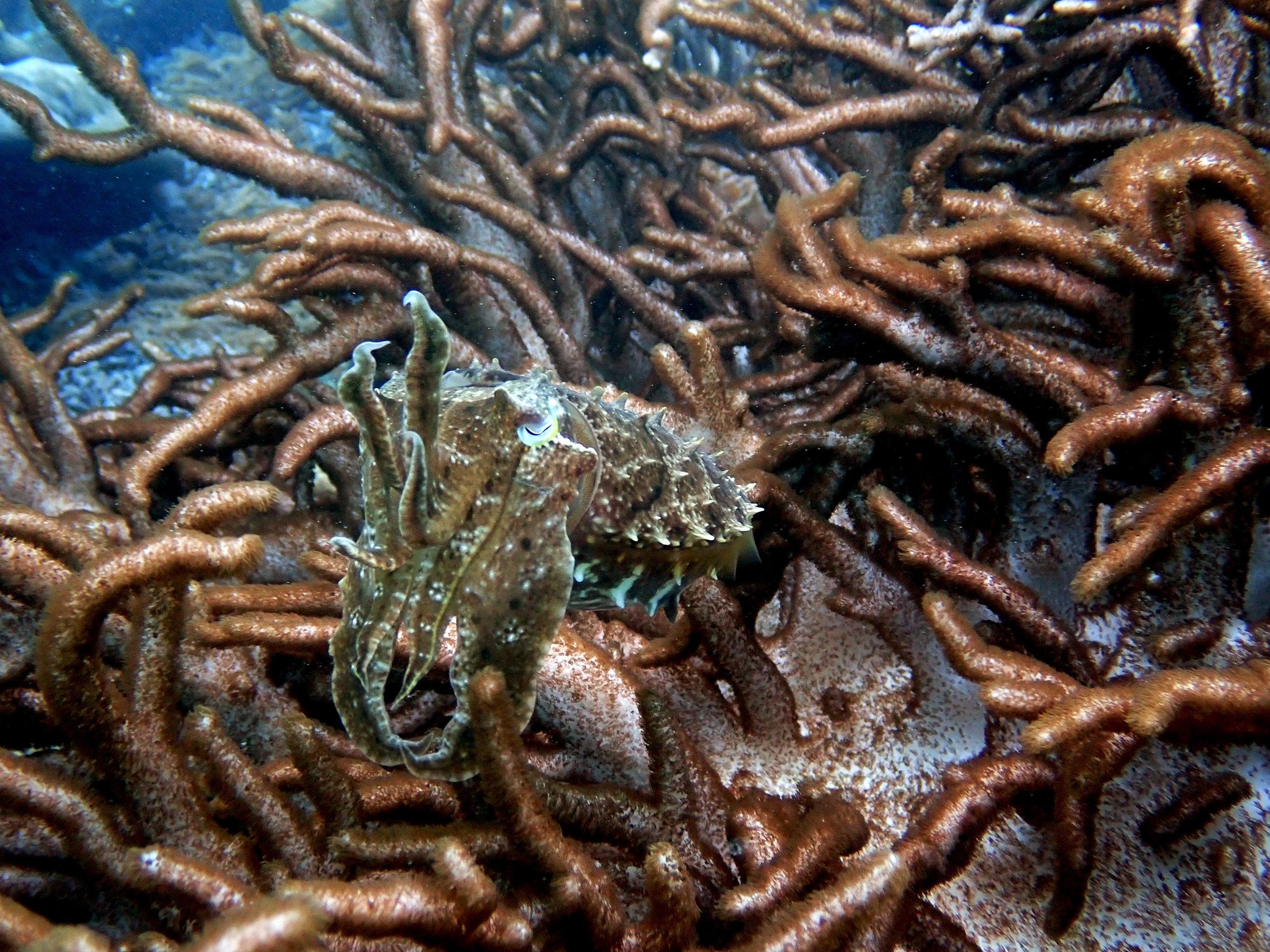 cuttlefish near wreck.jpg