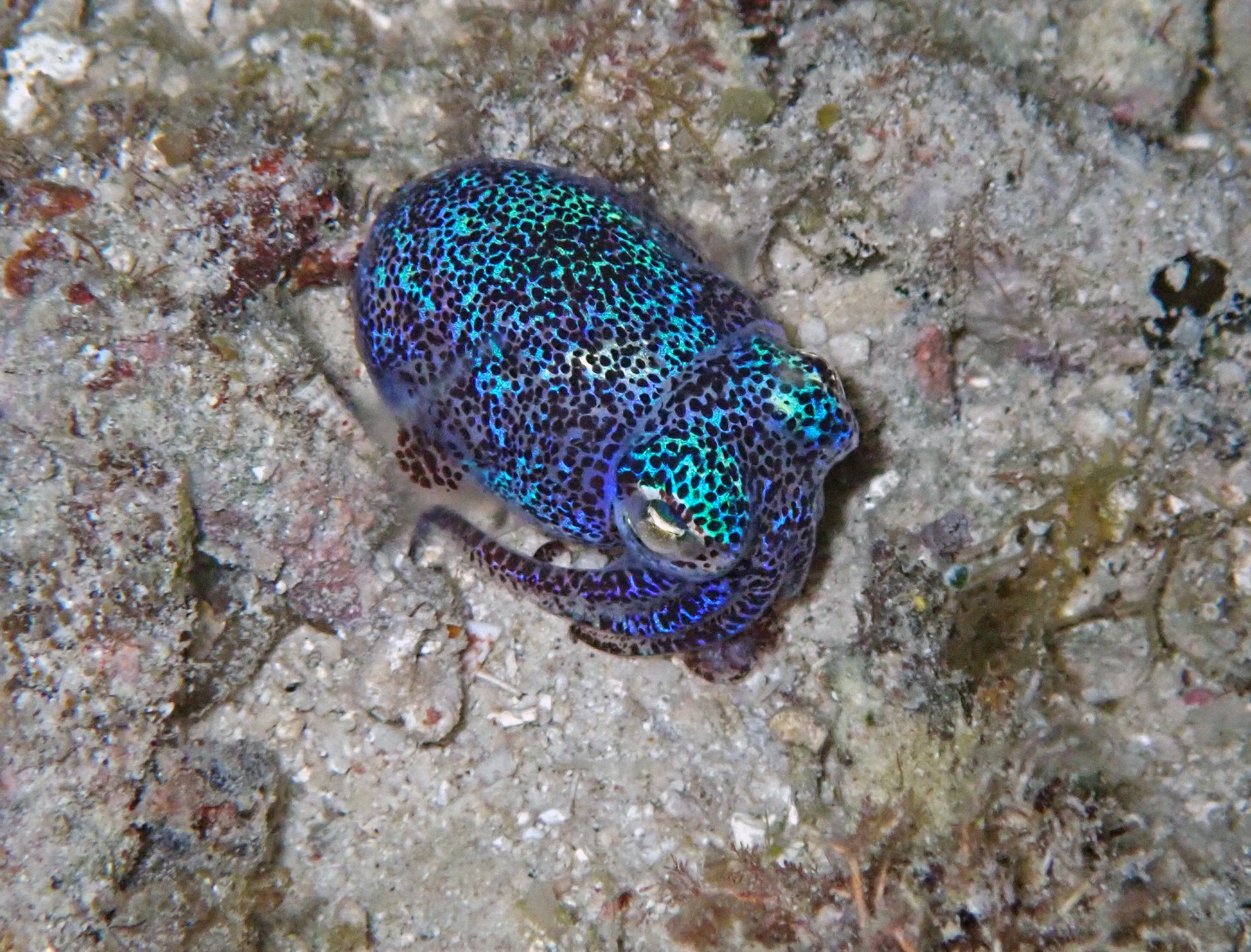 good bobtail squid shot.jpg