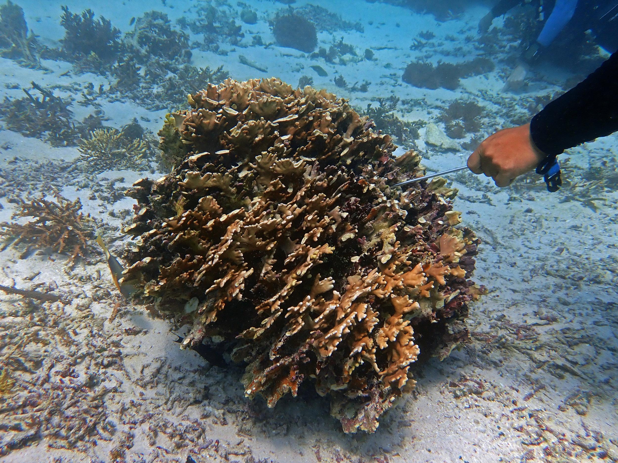 fire coral.jpg
