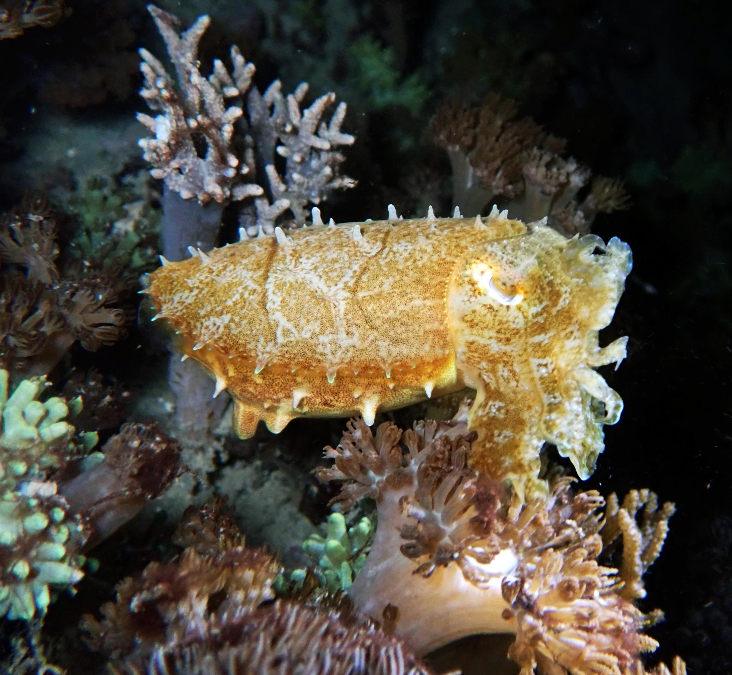 cuttlefish Wainilu.jpg