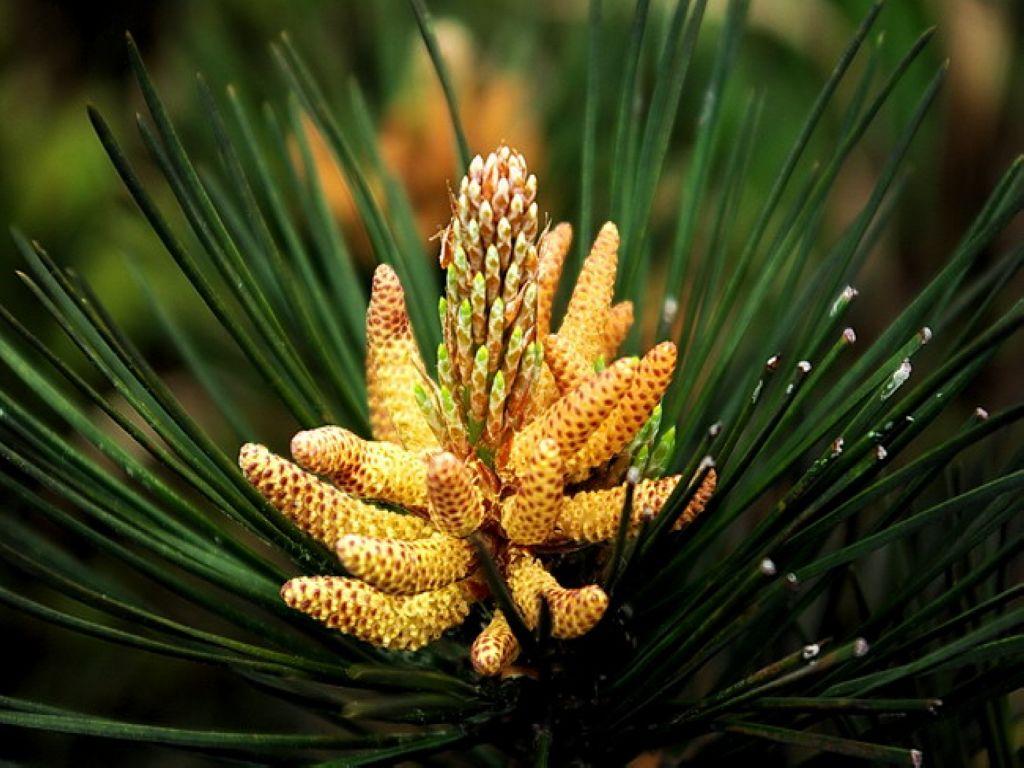 PIne Pollen - 112g    photo credit: naturaherb.com