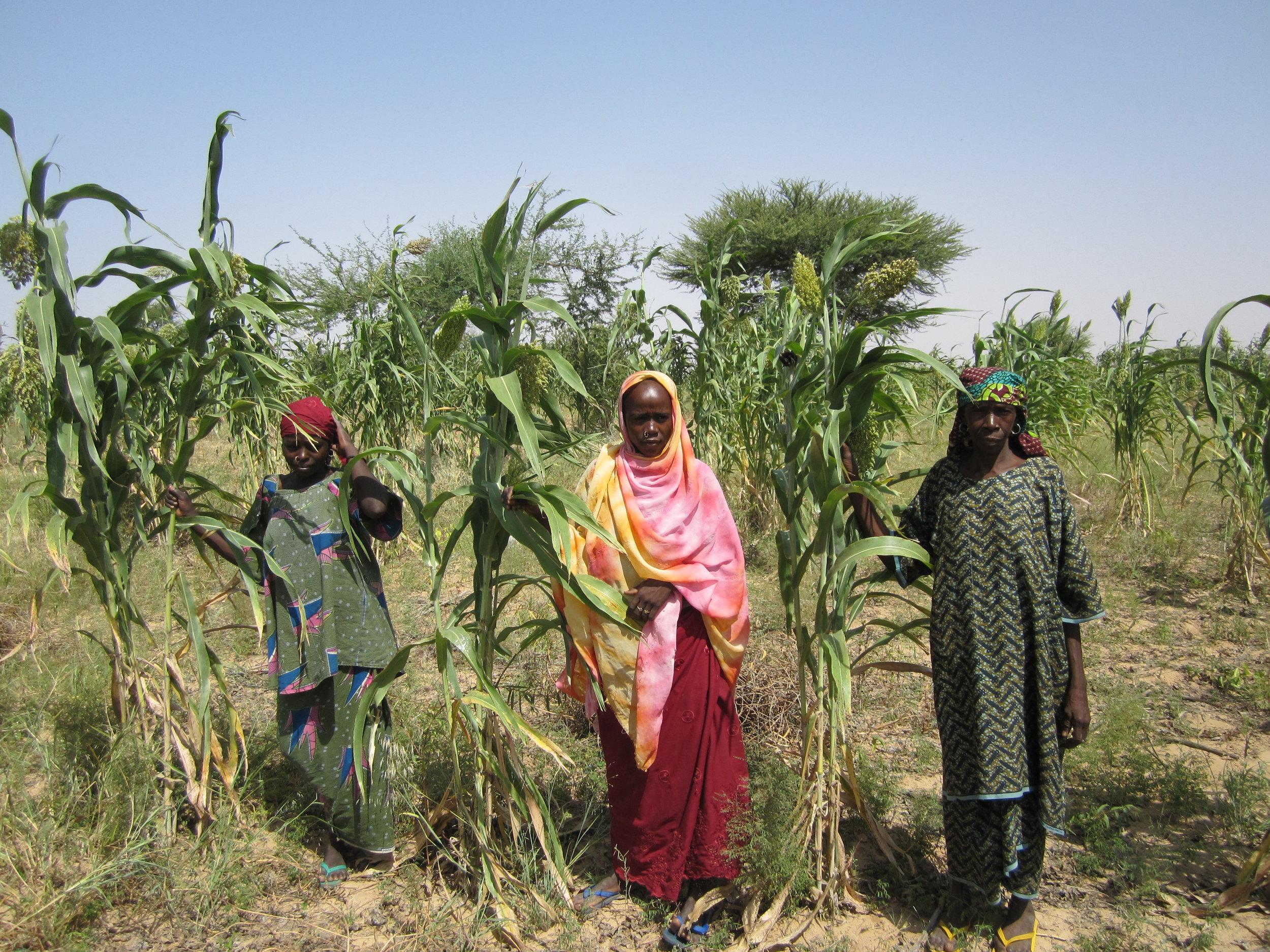 Farmer in northern Nigeria growing improved sorghum