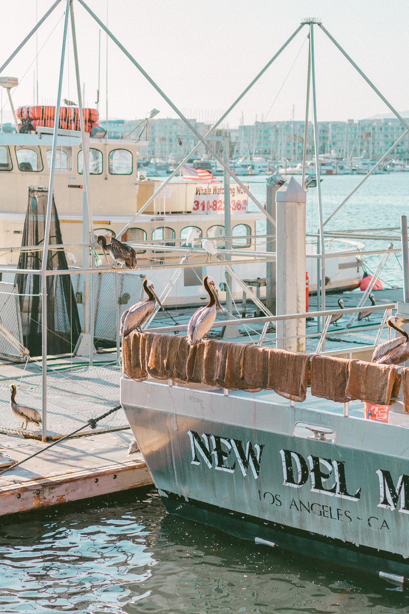 marina del rey pelicans