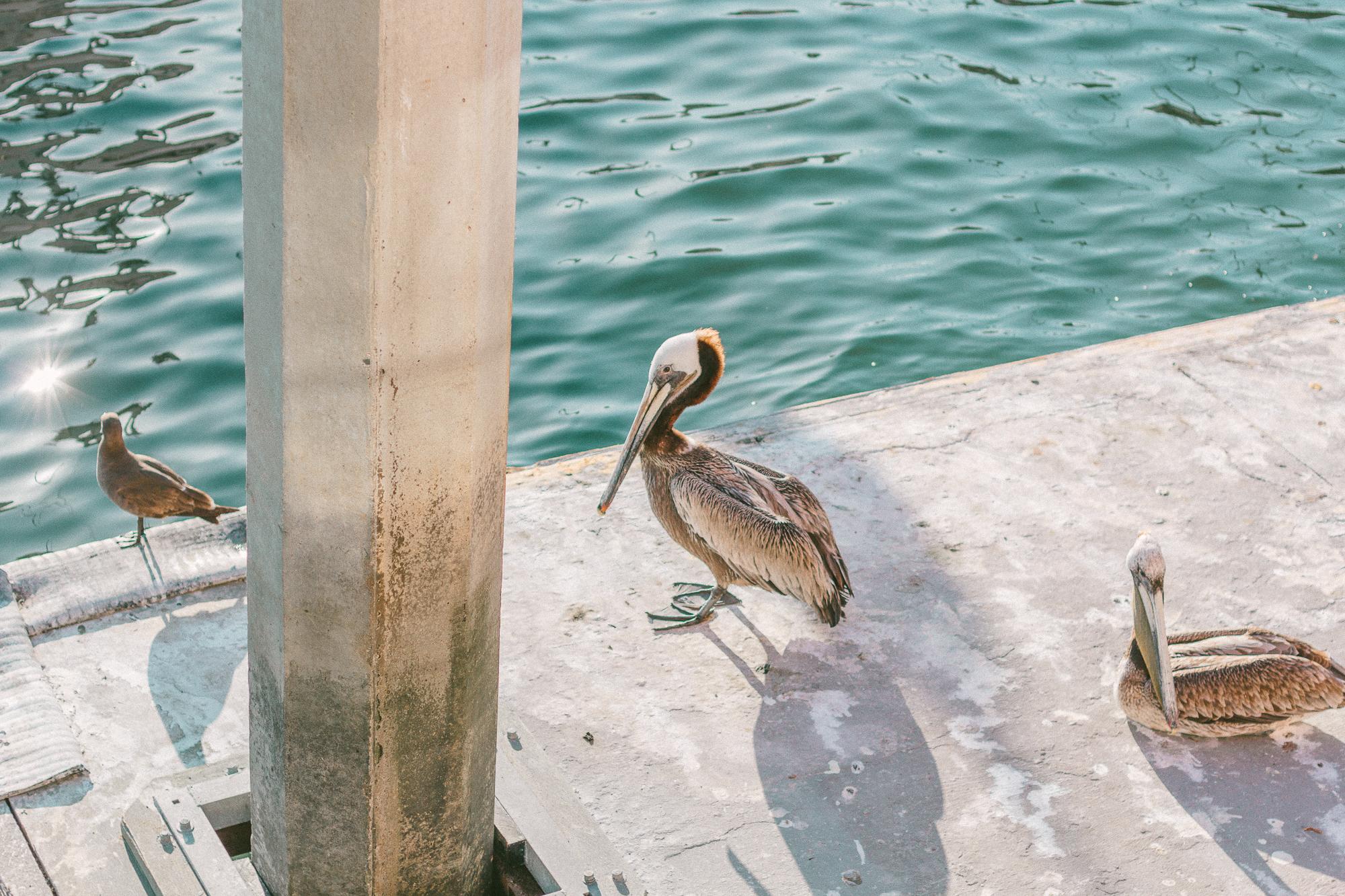 marina del rey pelicans 2