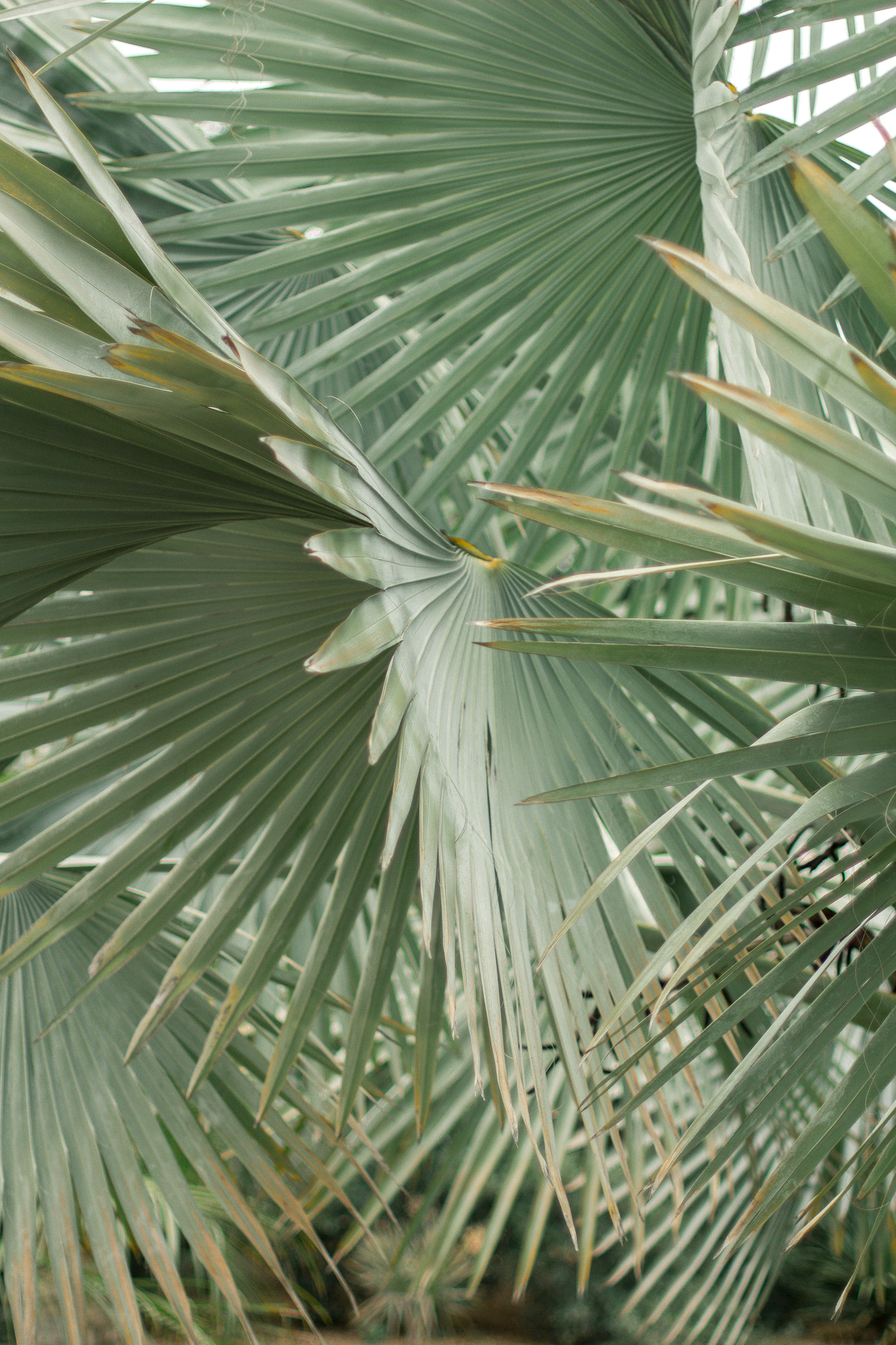 la arboretum 6 fan palm
