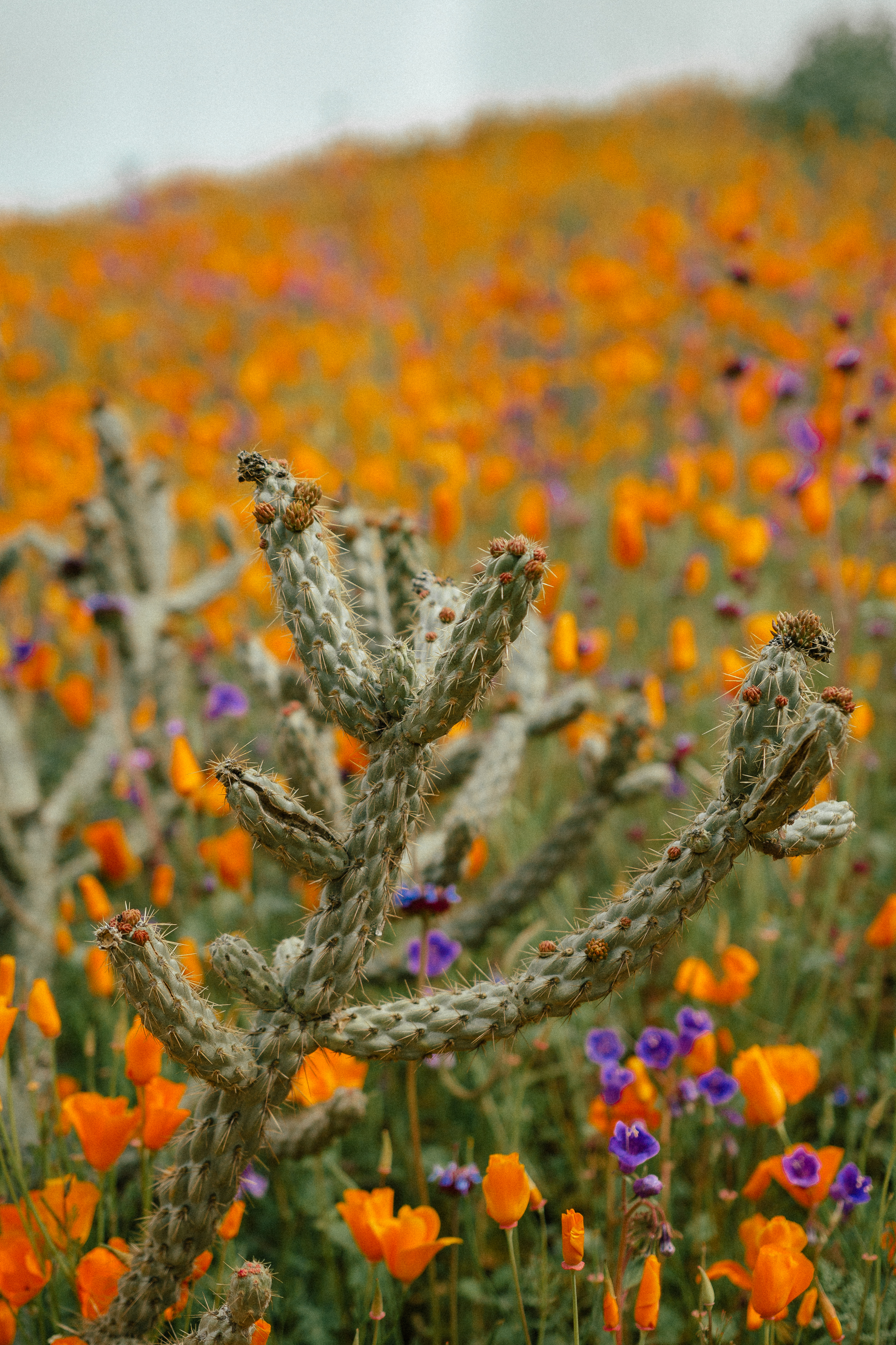 poppy fields california superbloom 12