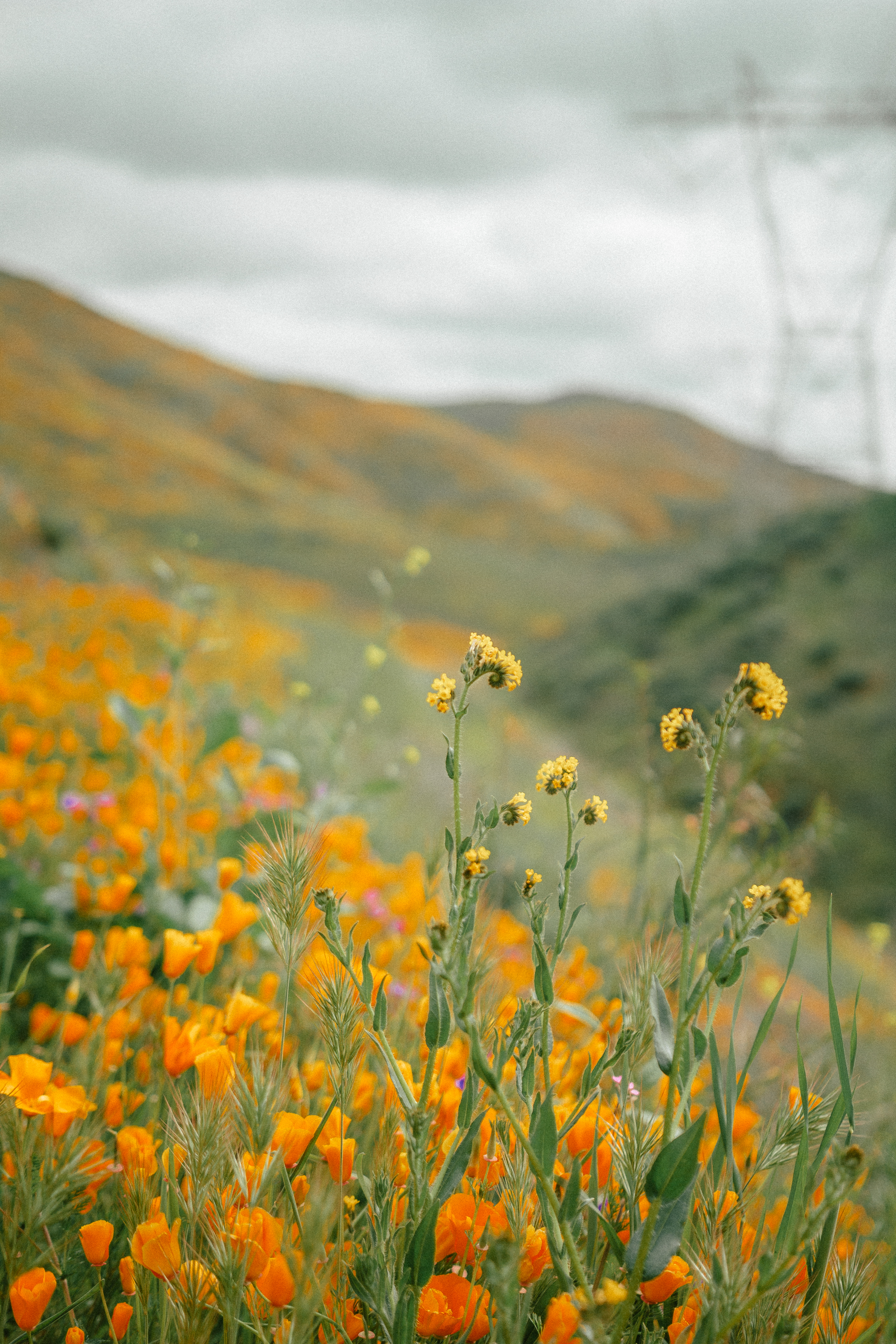 poppy fields california superbloom 13