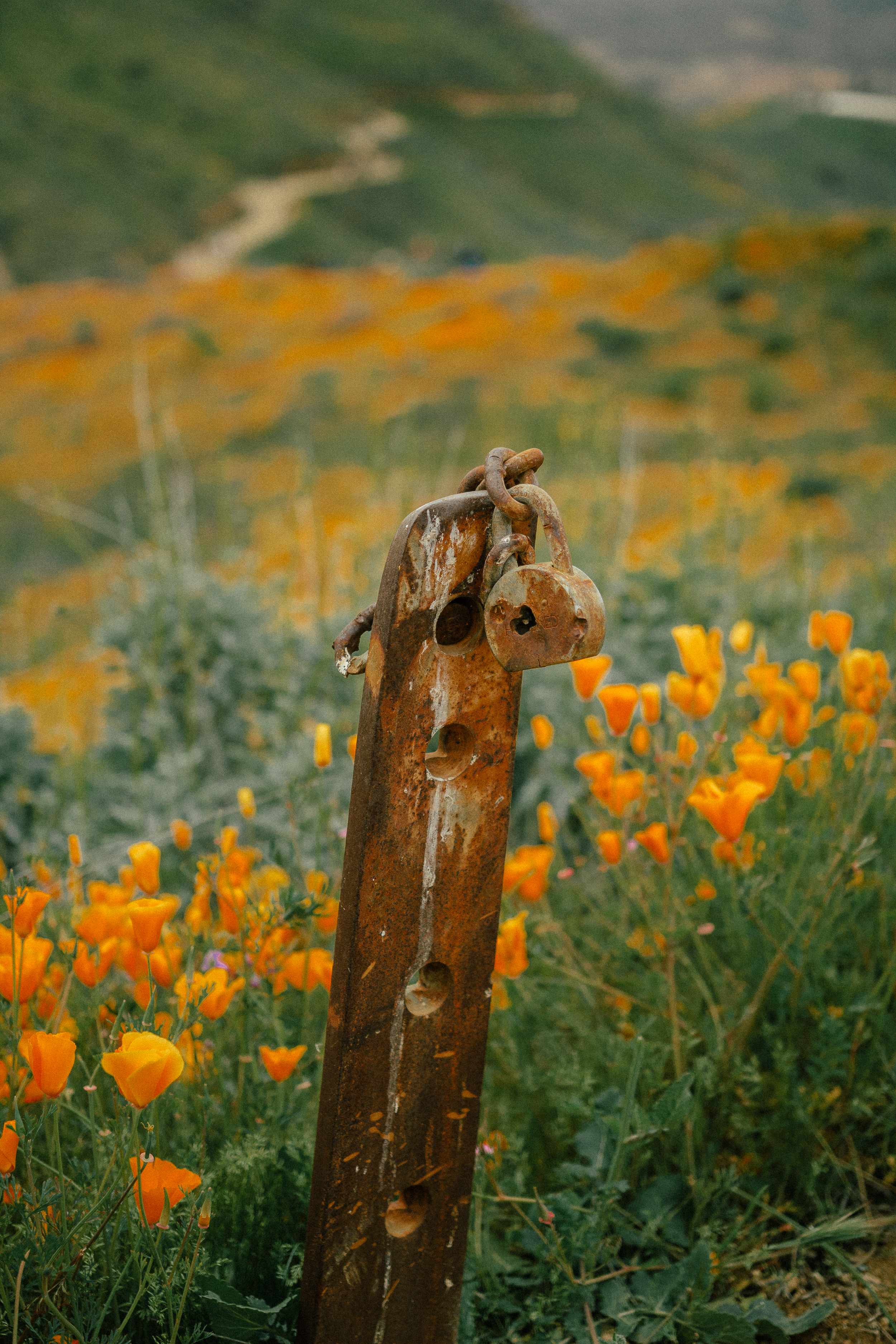 poppy fields california superbloom 21