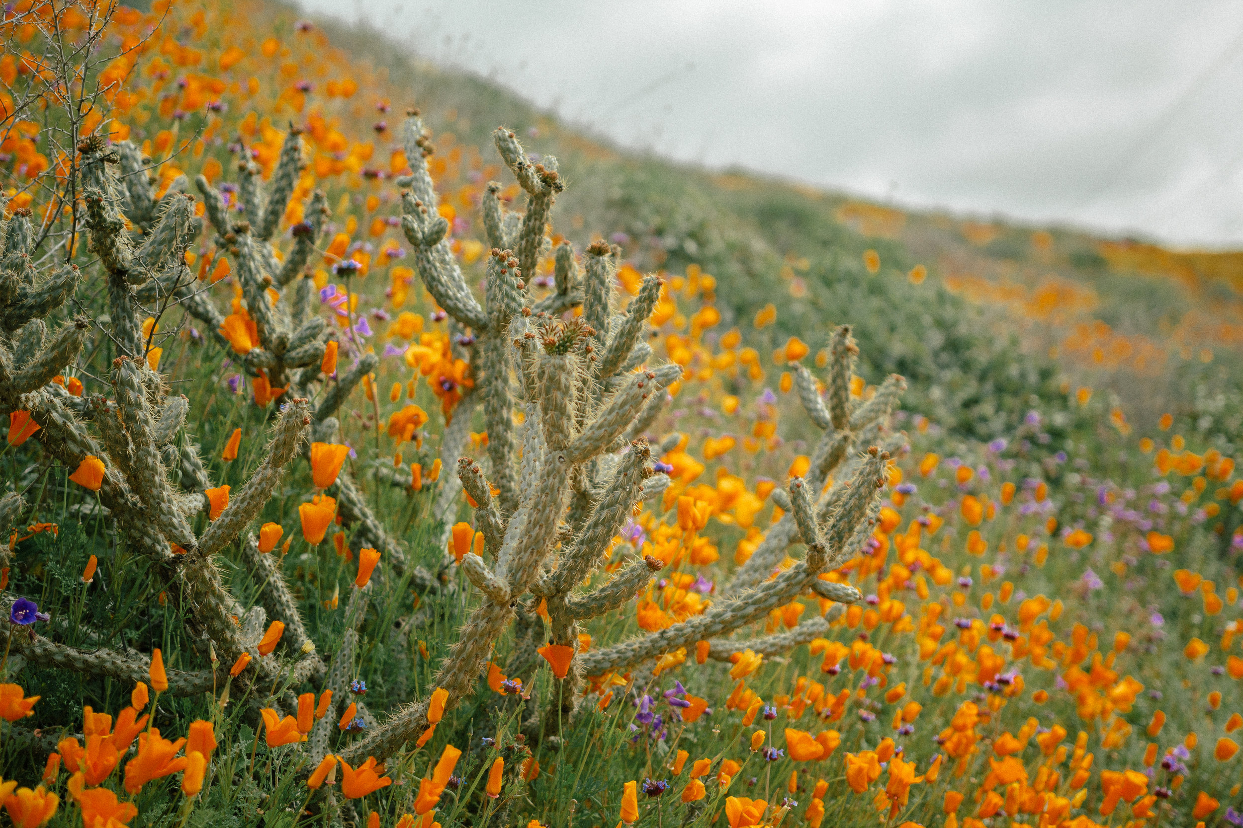 super bloom poppy field cactus