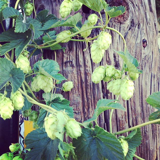 Our cascade hops plant is looking awesome!!! If you like pale ales this hop provides a nice citrus like aroma! #sanmateo #gardencenter  #edibles #beer