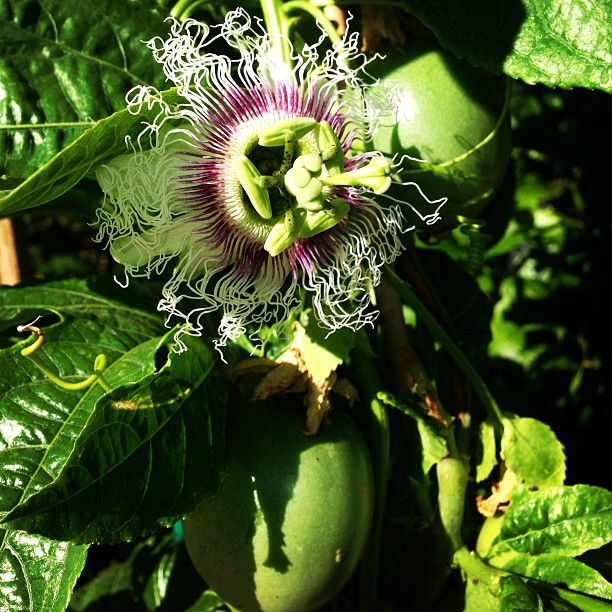 Here's a fun edible that can be trained to grow on a sunny wall! This passion fruit will produce delectably sweet fruits even in our mild climate! #sanmateo #gardencenter #edibles