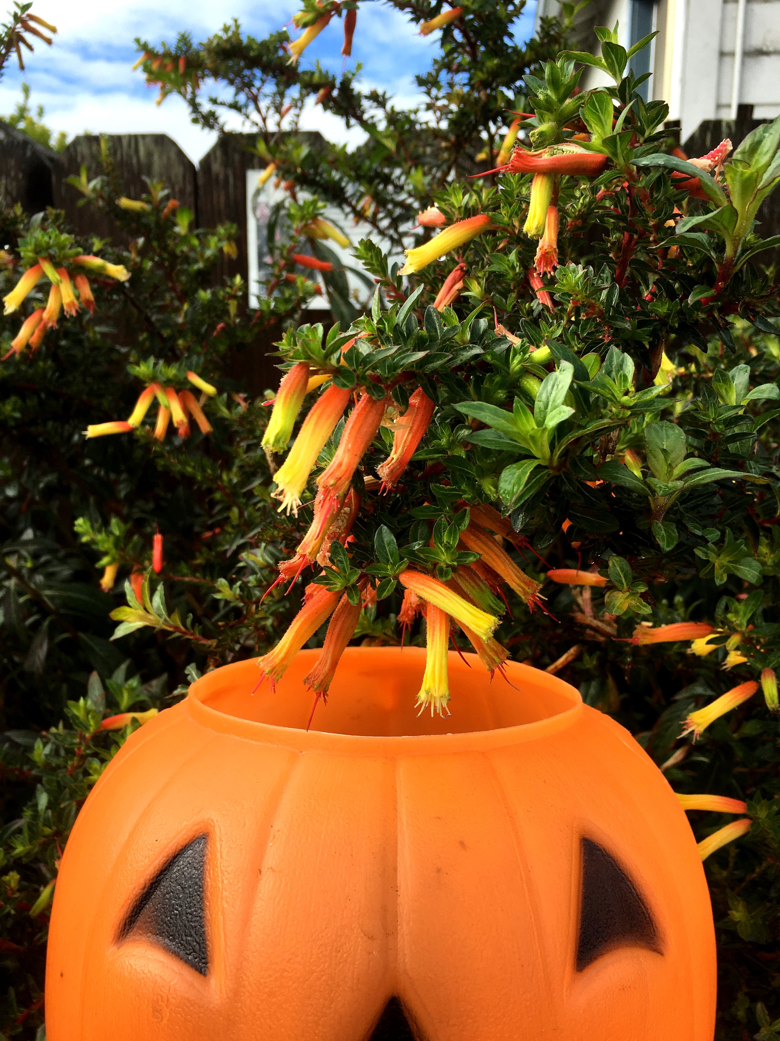 Cuphea micropetala 'Candy Corn'