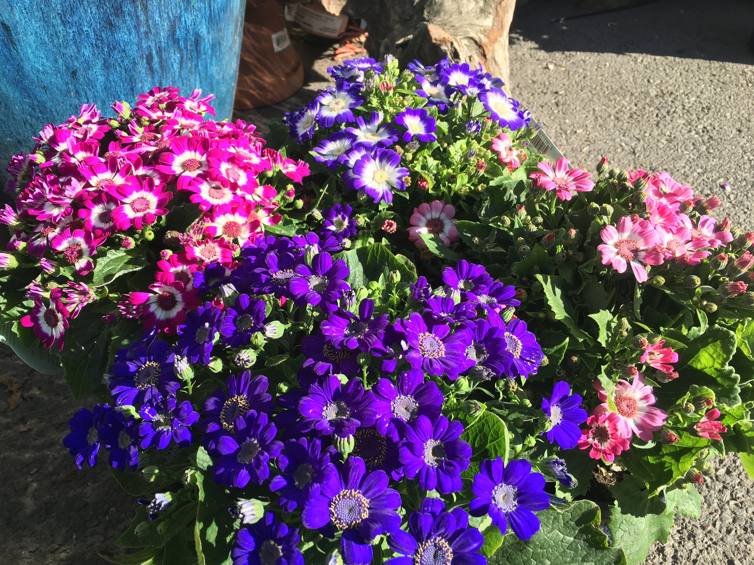 Cineraria blooming in a range of colors that make for an amazing spread...