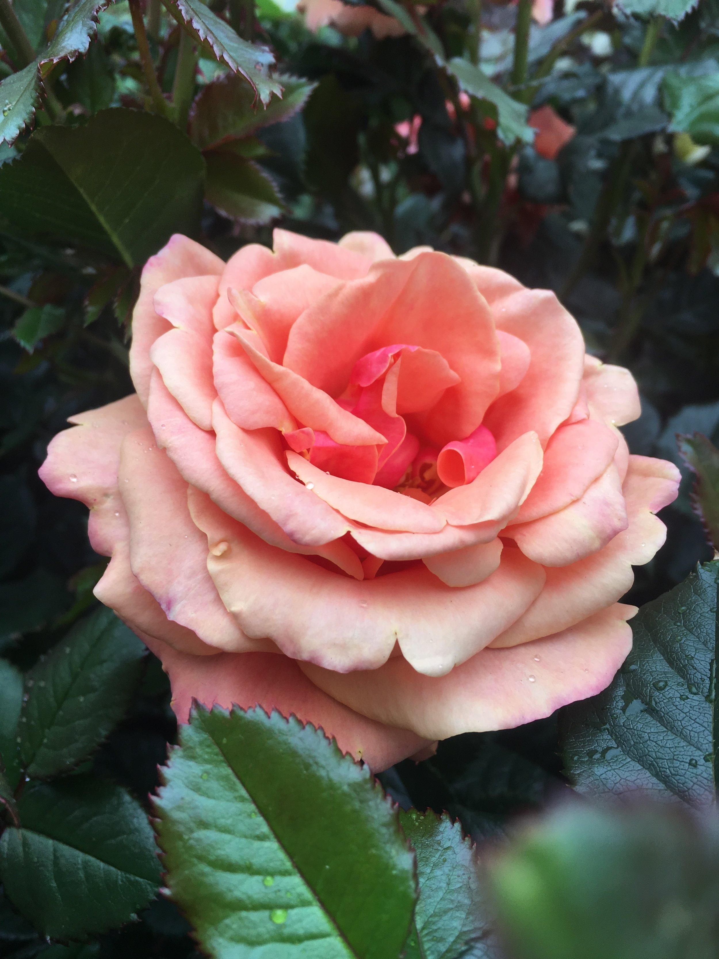 Rosa 'Anna's Promise'