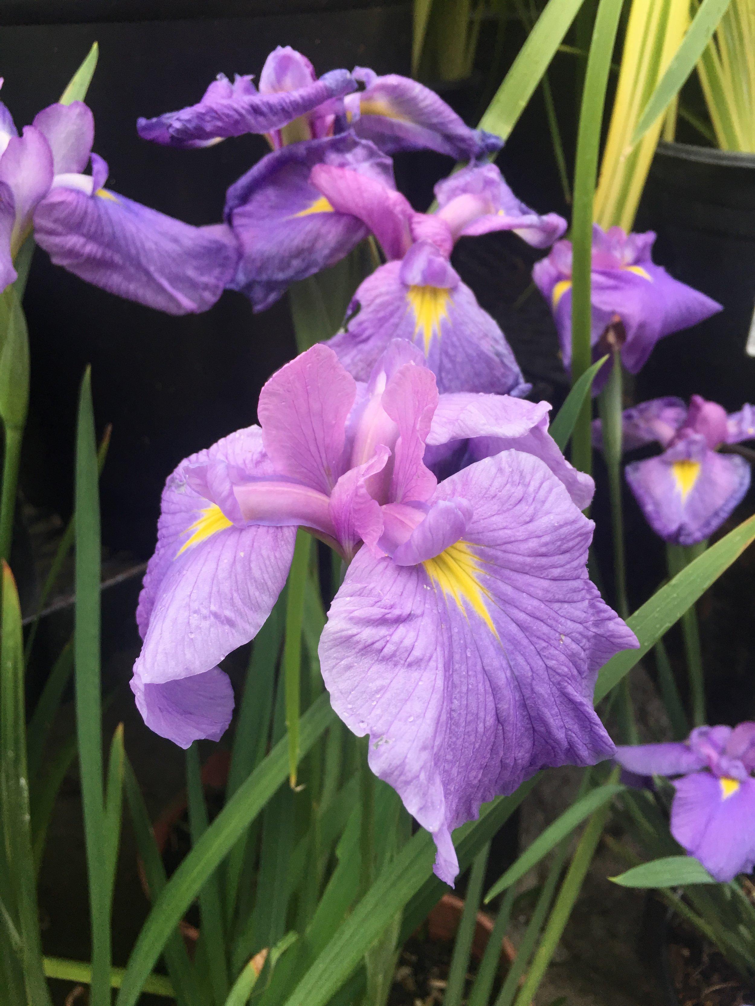 Iris ensata 'temple bells'