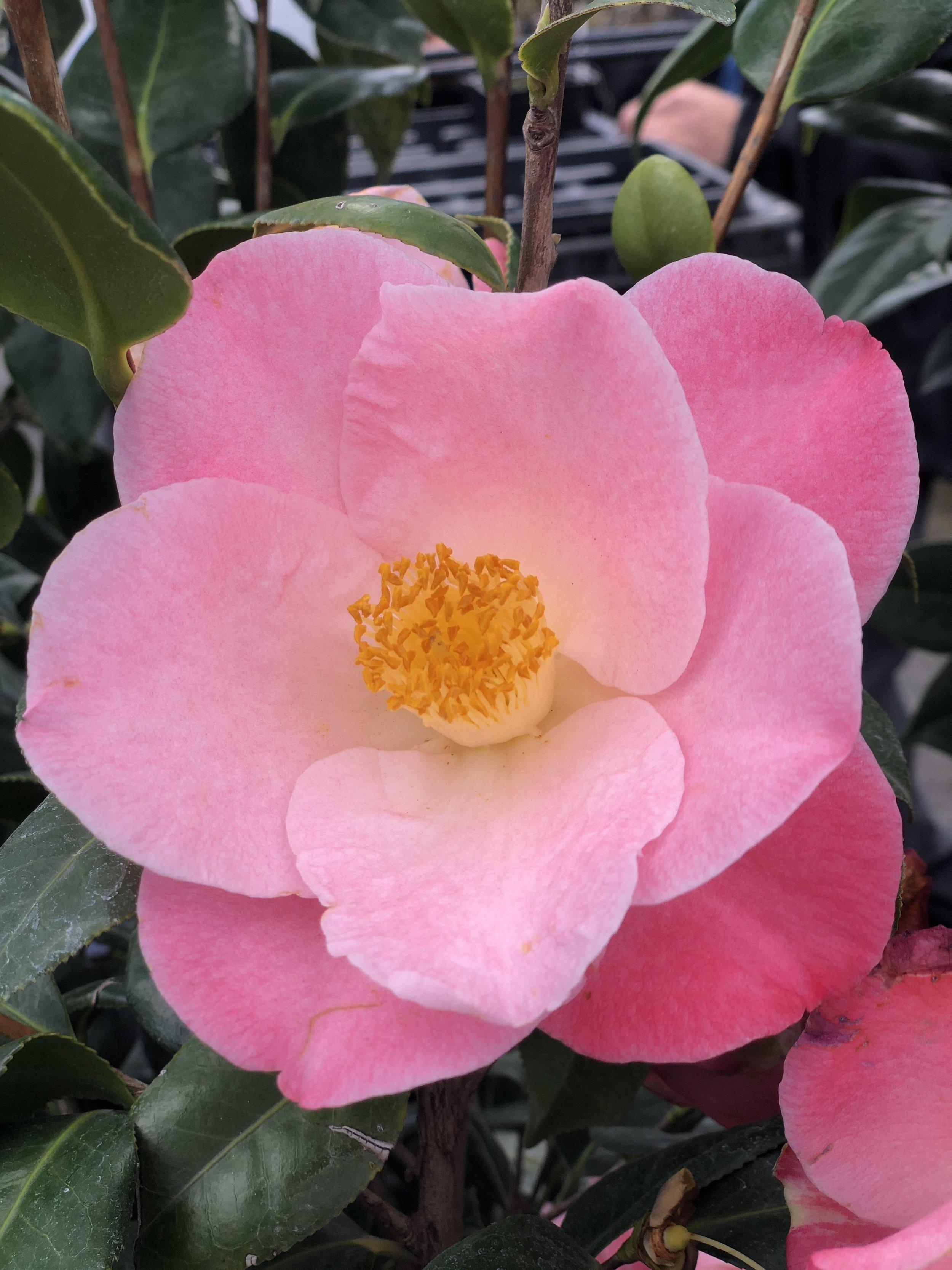 Camellia j. 'Nuccio's carousel'